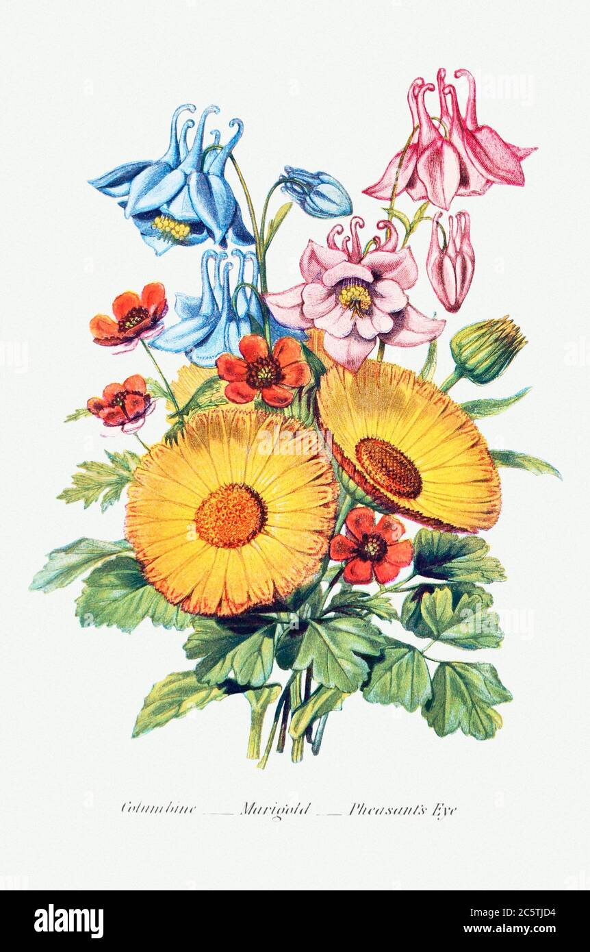 Columbine, Marigold and Pheasant's Eye from The Language of Flowers, or, Floral Emblems of Thoughts, Feelings, and S.jpg - 2C5TJD4 Stock Photo