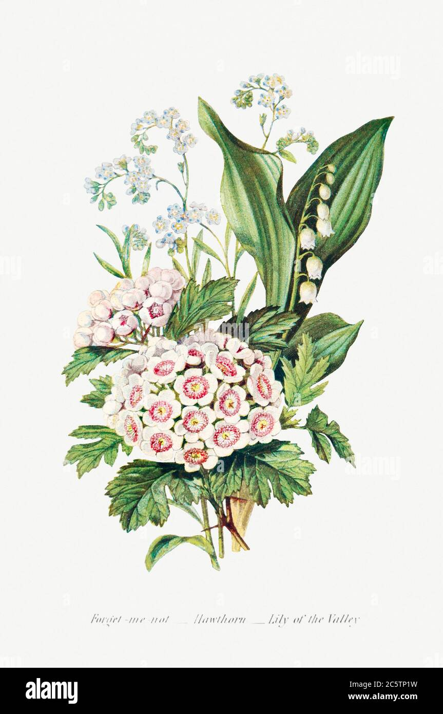 Forget Me Not, Hawthorn and Lily of the Valley from The Language of Flowers, or, Floral Emblems of Thoughts, Feeling.jpg - 2C5TP1W Stock Photo