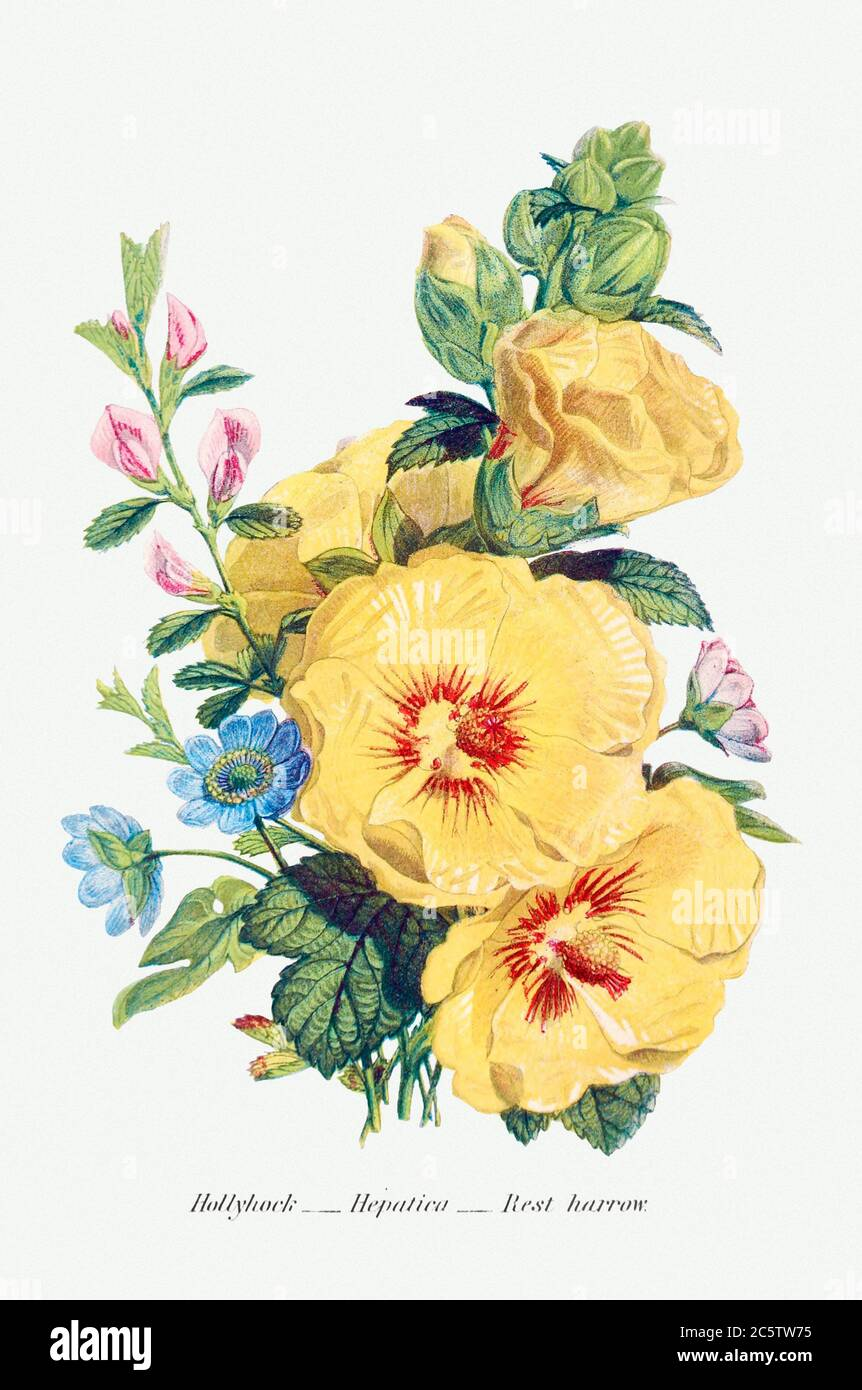 Hollyhock, Hepatica and Rest Harrow from The Language of Flowers, or, Floral Emblems of Thoughts, Feelings, and Sent.jpg - 2C5TW75 Stock Photo