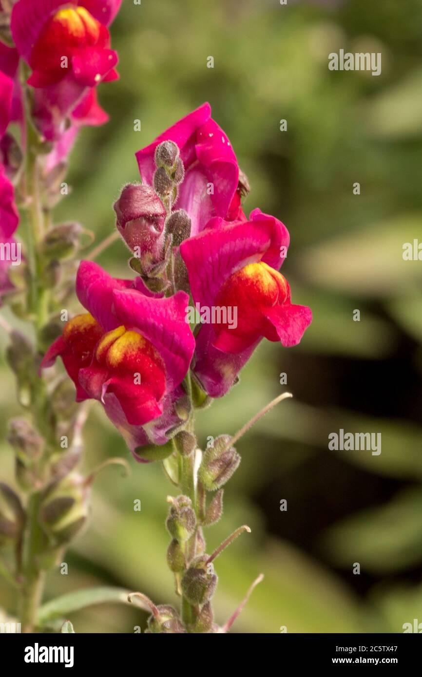 Dragon flower in a german garden Stock Photo