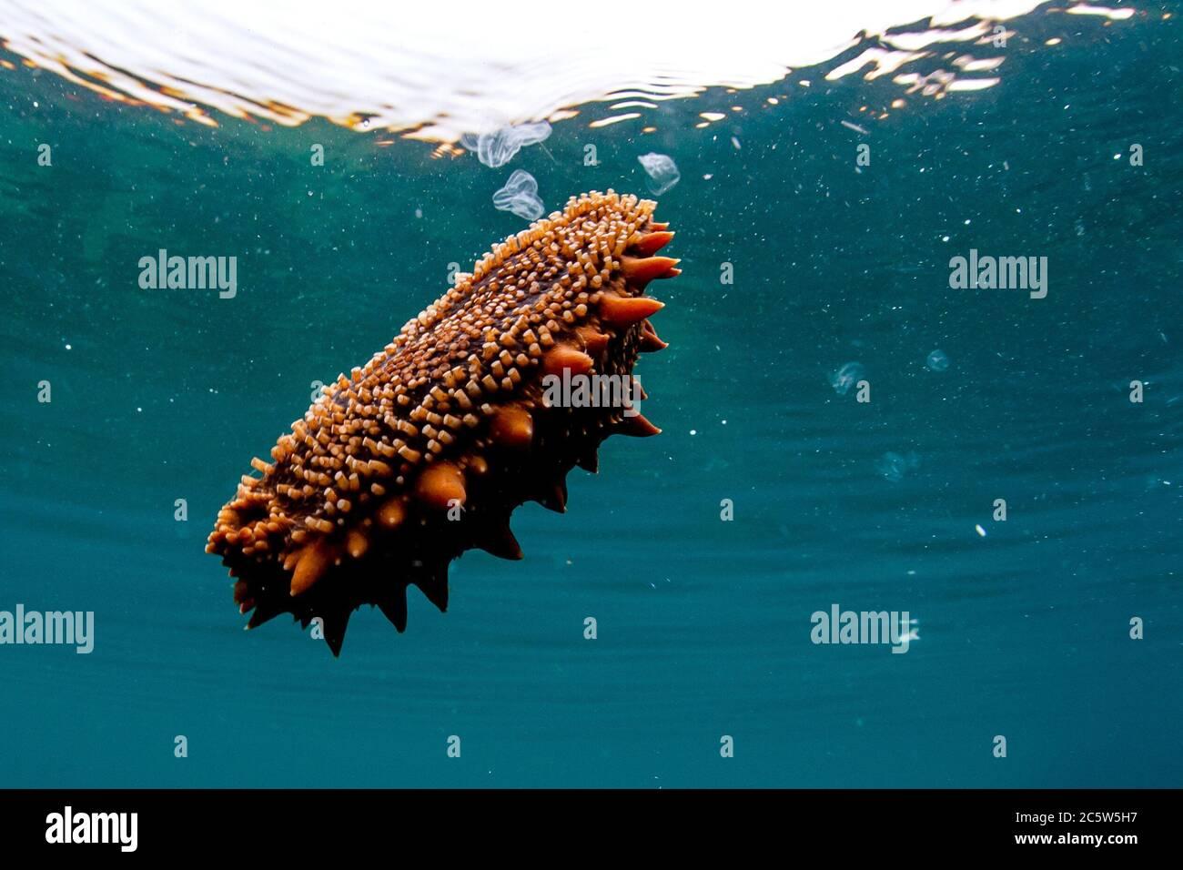 Japanese spiky sea cucumber ...