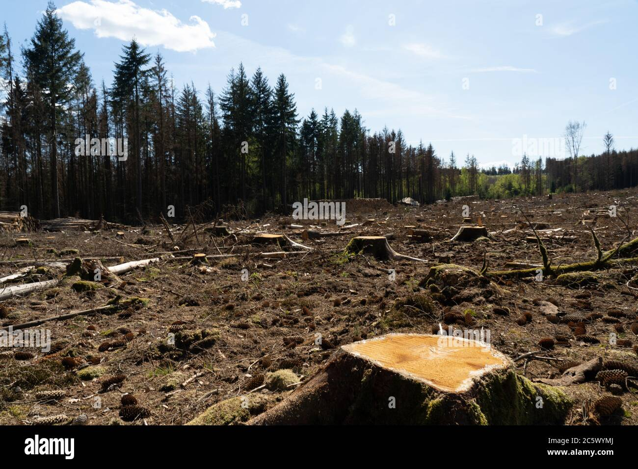 felled trees symbol for the forest dieback in germany due to periods of extreme heat and dryness Stock Photo