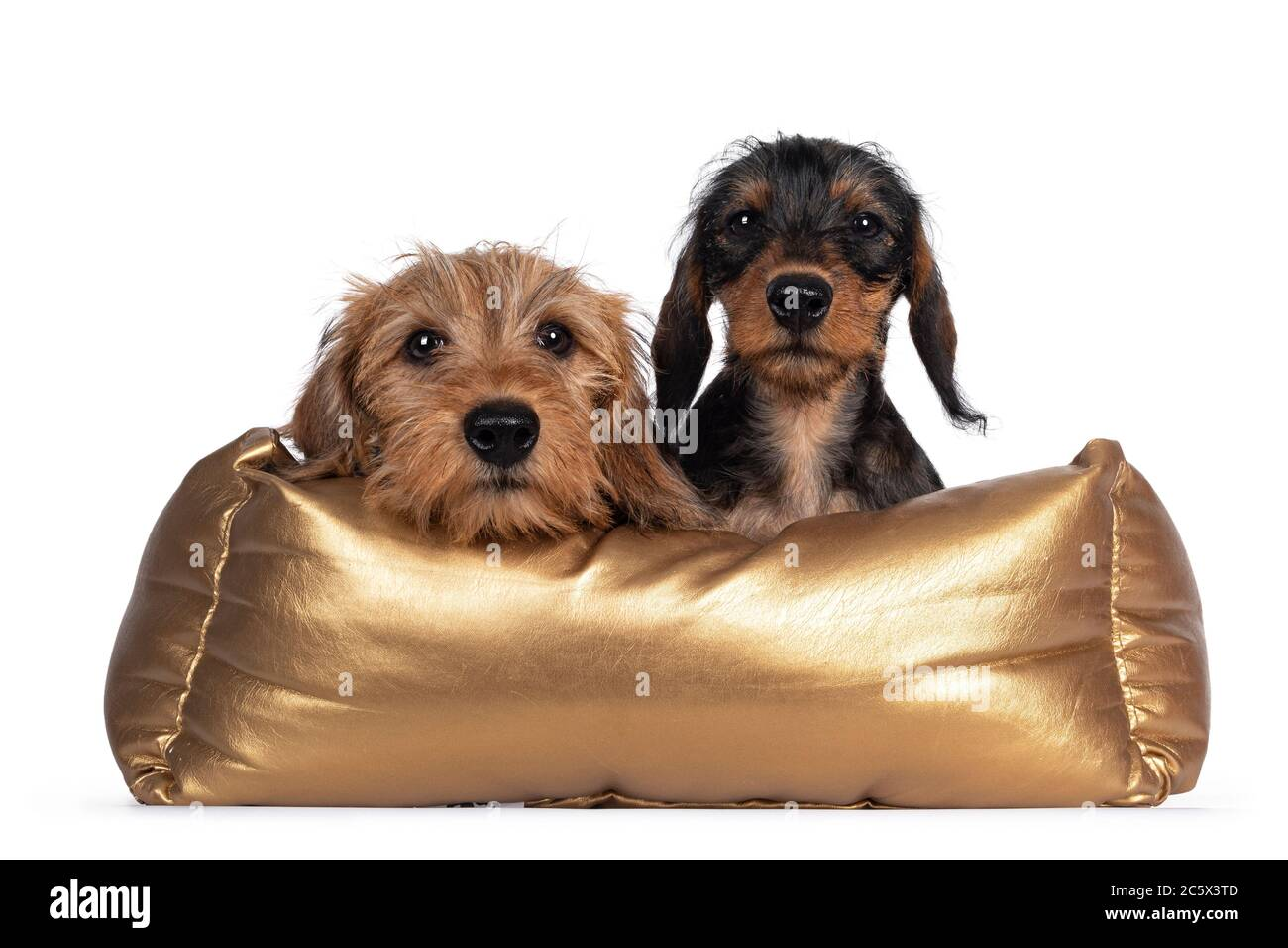 Two Adorable Wirehair Kanninchen Dachshund Puppies Laying Over Edge And Sitting In Golden Basket Looking Straight At Camera With Dark Shiny Eyes Is Stock Photo Alamy