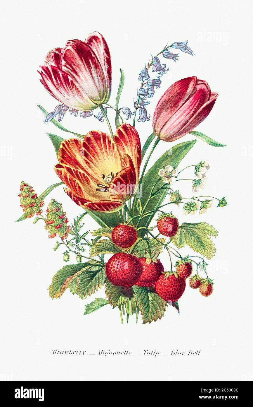 Strawberry, Mignonette, Tulip, and Blue Bell and from The Language of Flowers, or, Floral Emblems of Thoughts, Feeli.jpg - 2C6008C Stock Photo