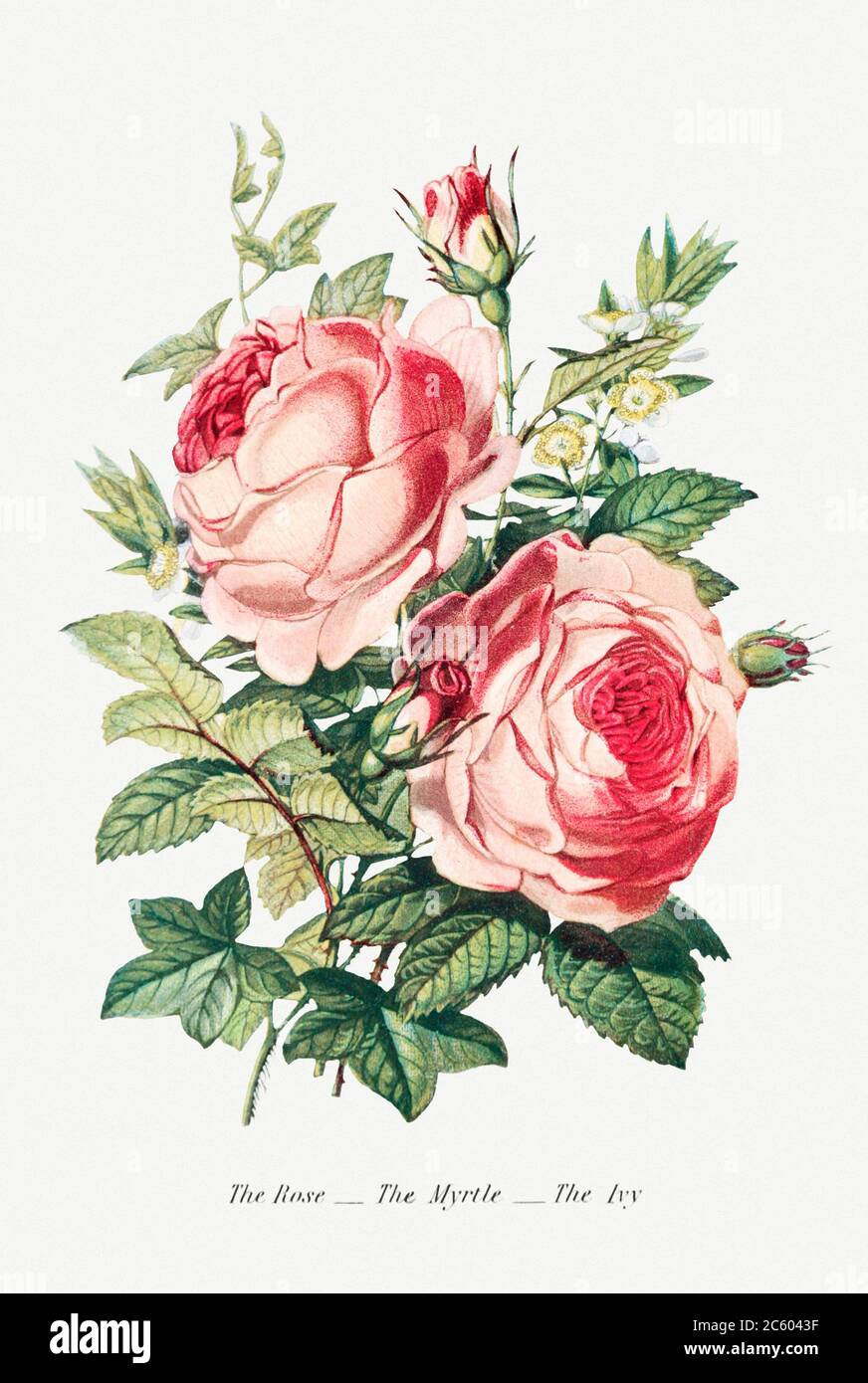 The Rose, the Myrtle and the Ivy from The Language of Flowers, or, Floral Emblems of Thoughts, Feelings, and Sentime.jpg - 2C6043F Stock Photo