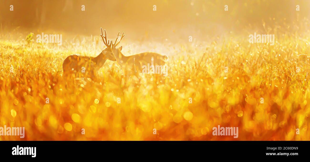 Two males Hog Deer fight for mating rituals in a grassland in the morning mist, glowing morning dew in the early light. Stock Photo