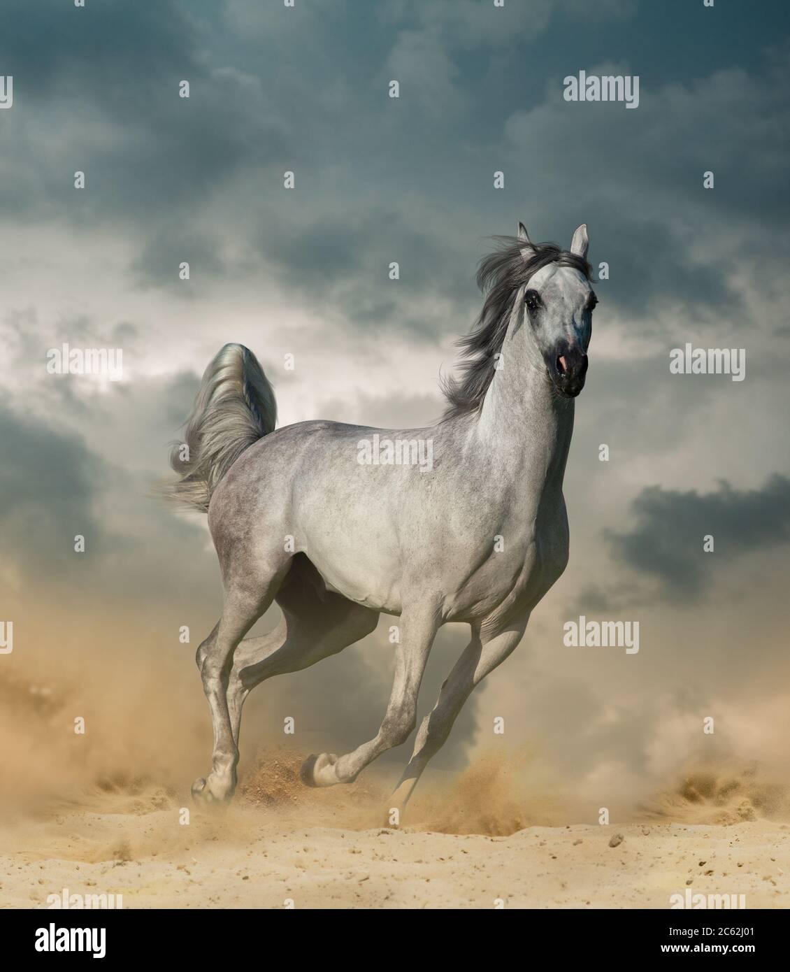 Beautiful Arabian Horse In Desert Runninf Wild Under Cloudy Sky Stock Photo Alamy