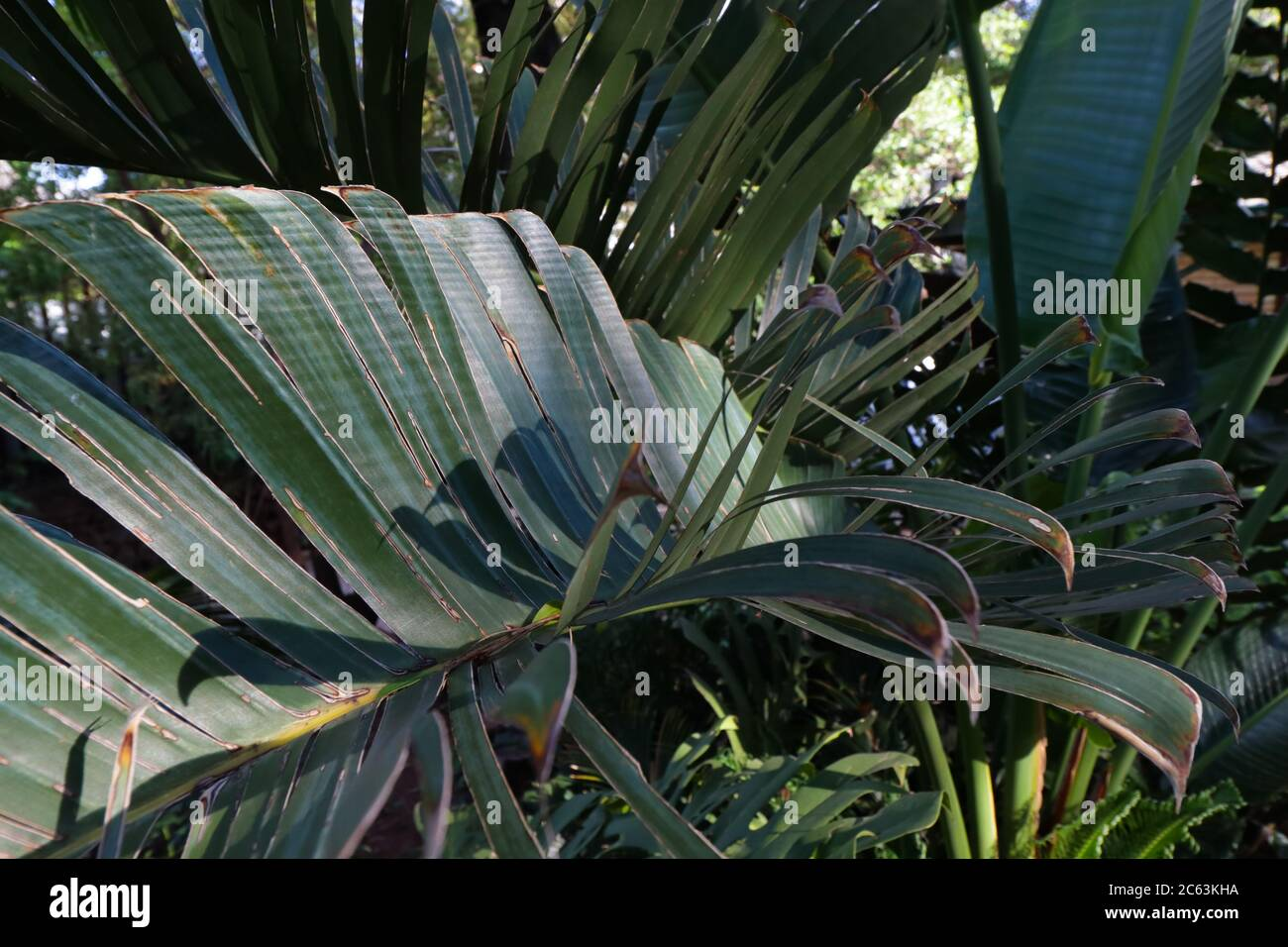 Tropical Palm Leaves Greenery Forest Abstract Stock Photo Alamy Many tropical rainforest leaves have a drip tip. alamy