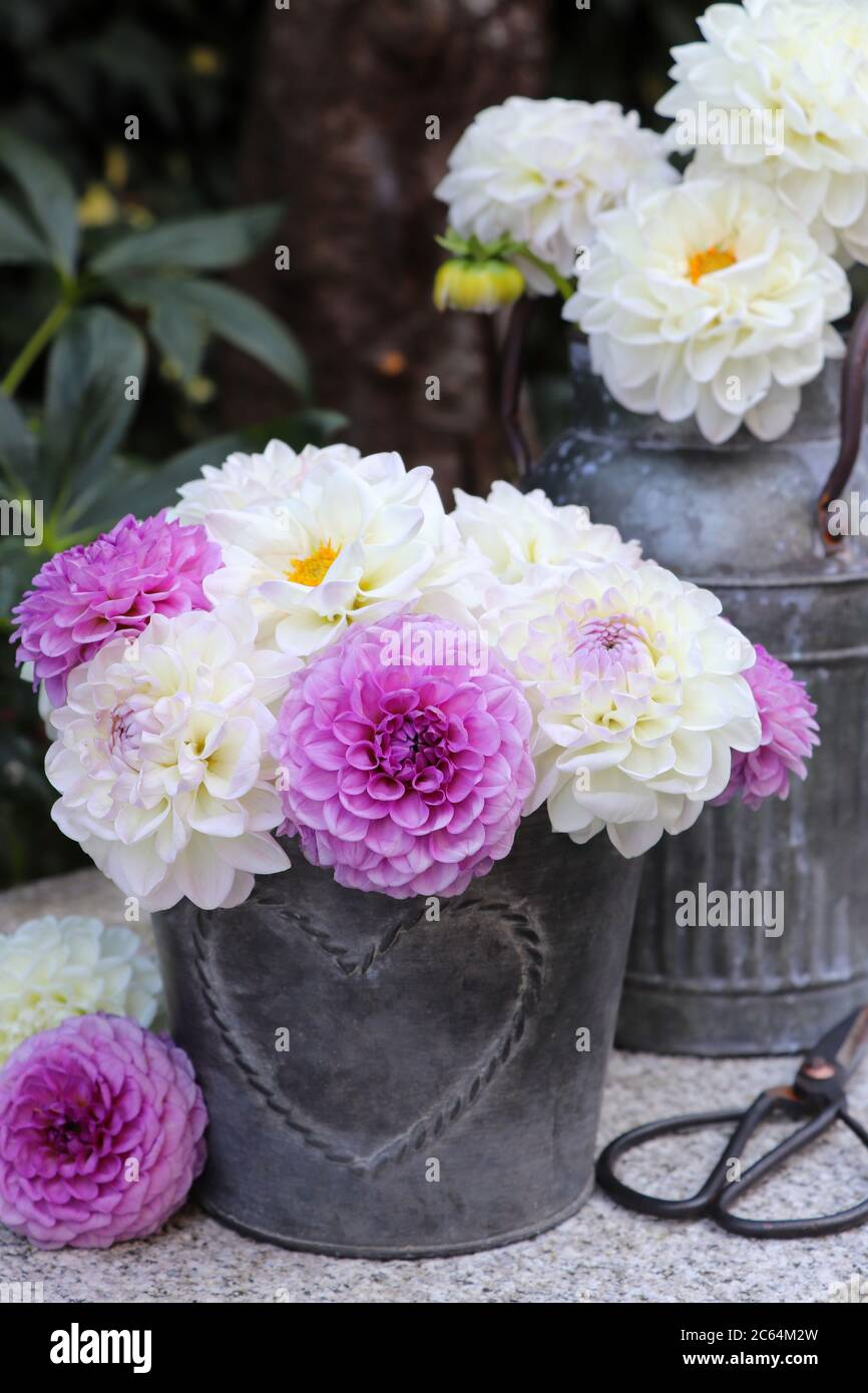 Bouquet Of Dahlia Flowers In White And Purple In Zinc Pot Stock Photo Alamy