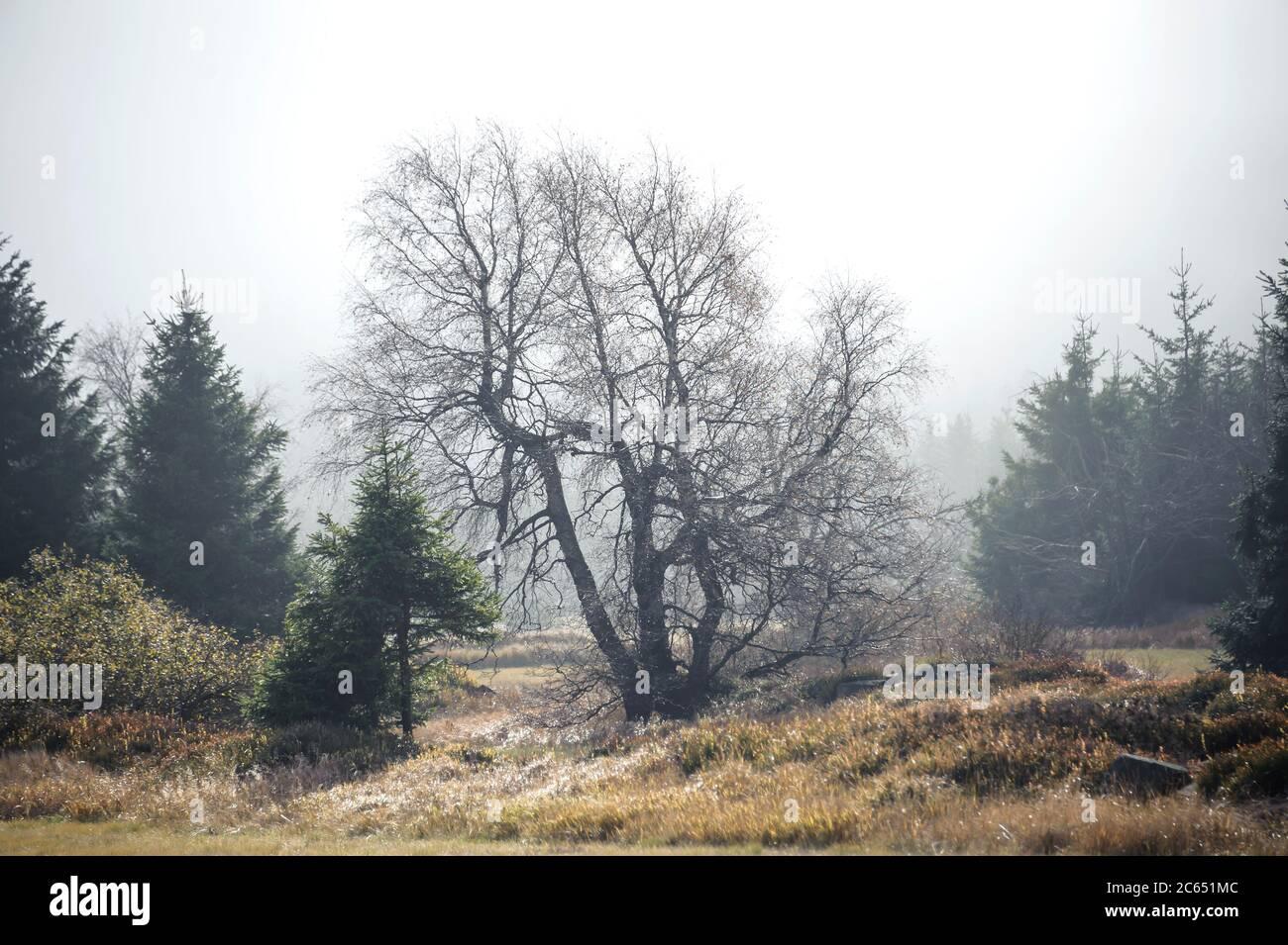 Georgenfelder Hochmoor, Moor-Birke  Betula pubescens, Rot-Fichte Picea abies Stock Photo