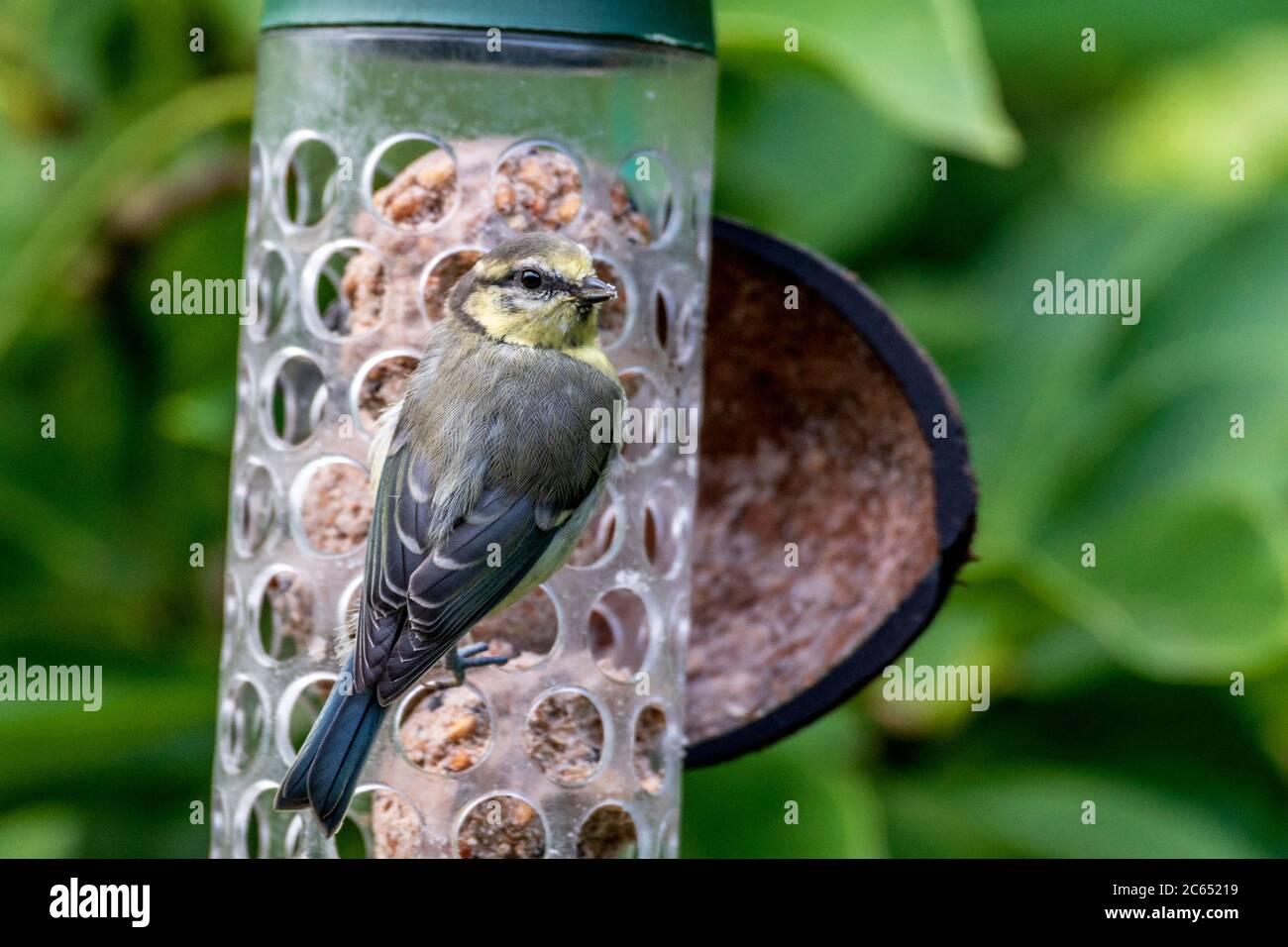 Juvenile Chiffchaff garden bird on a bird feeder. Stock Photo
