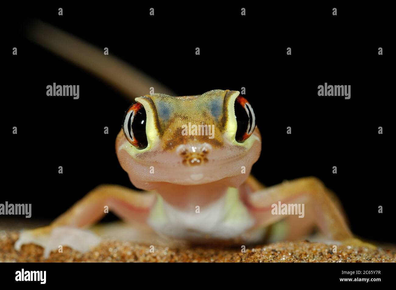 Web-footed gecko Gecko (Palmatogecko rangei) on sand dune in the Namib Desert Stock Photo