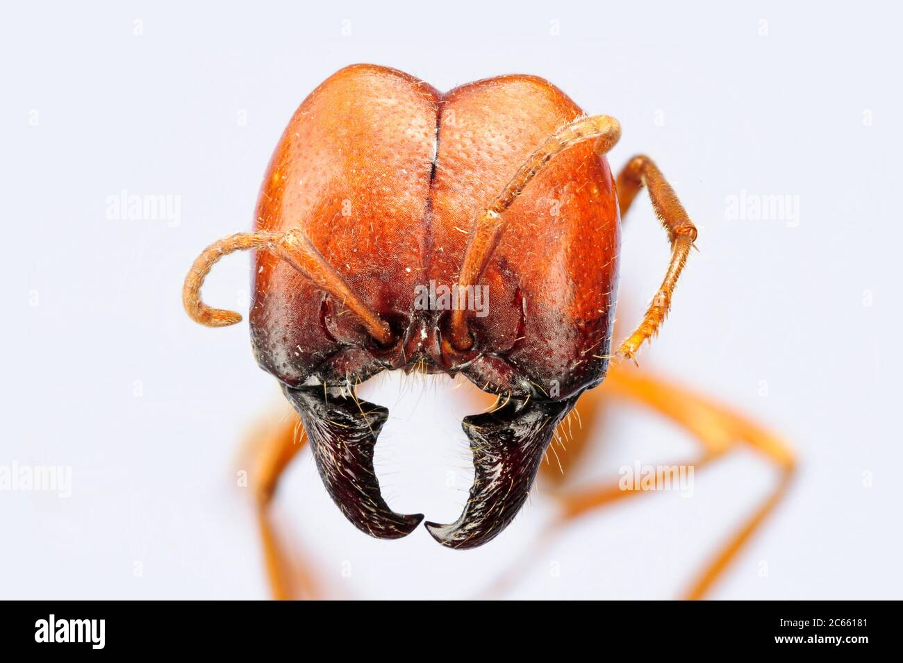 """[Digital focus stacking] Ant portrait, Labidus coecus, Picture was taken in cooperation with the """"Staatl. Museum für Naturkunde Karlsruhe"""". Stock Photo"""