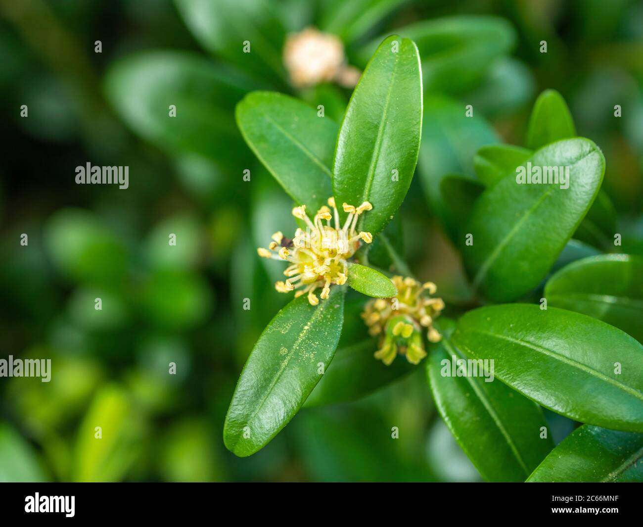 Common boxwood (Buxus sempervirens) in flower, spring, close-up, Bavaria, Germany, Europe Stock Photo