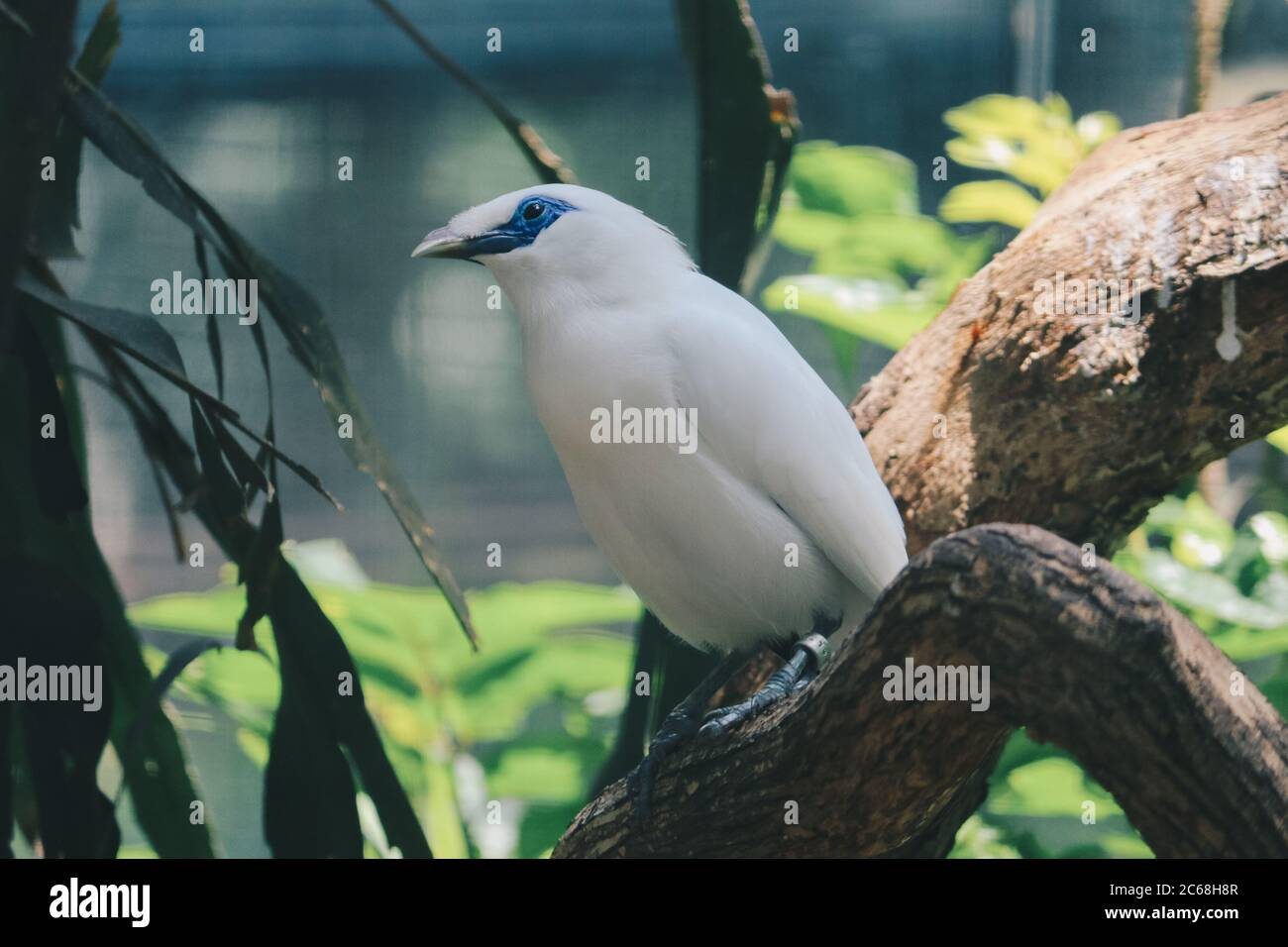 Jalak Bali High Resolution Stock Photography And Images Alamy