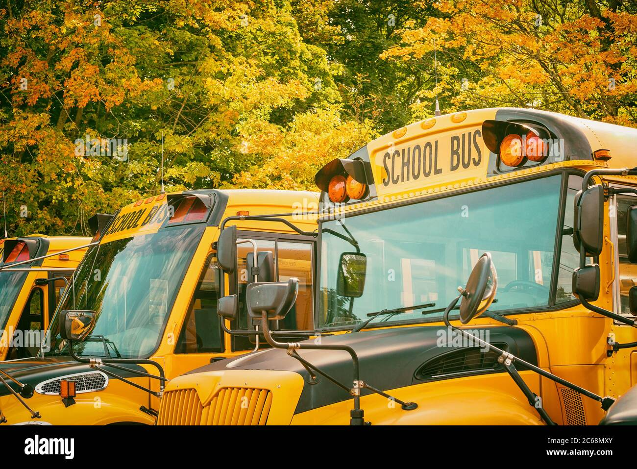 Yellow school buses in parking lot against beautiful autumn foliage trees. Back to school concept. Stock Photo