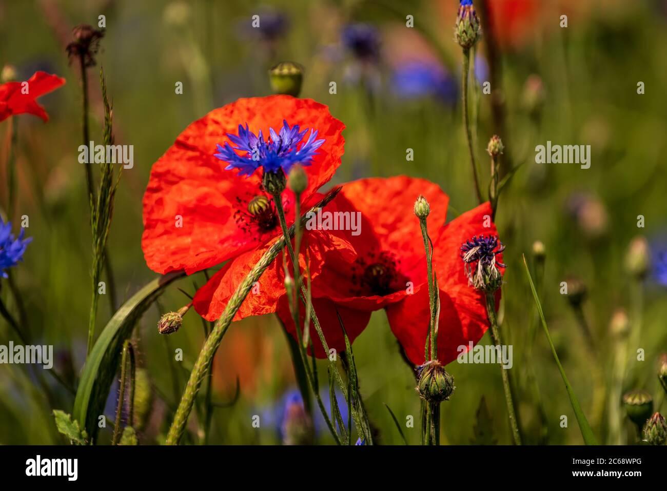 Kornblumen blau Stock Photo
