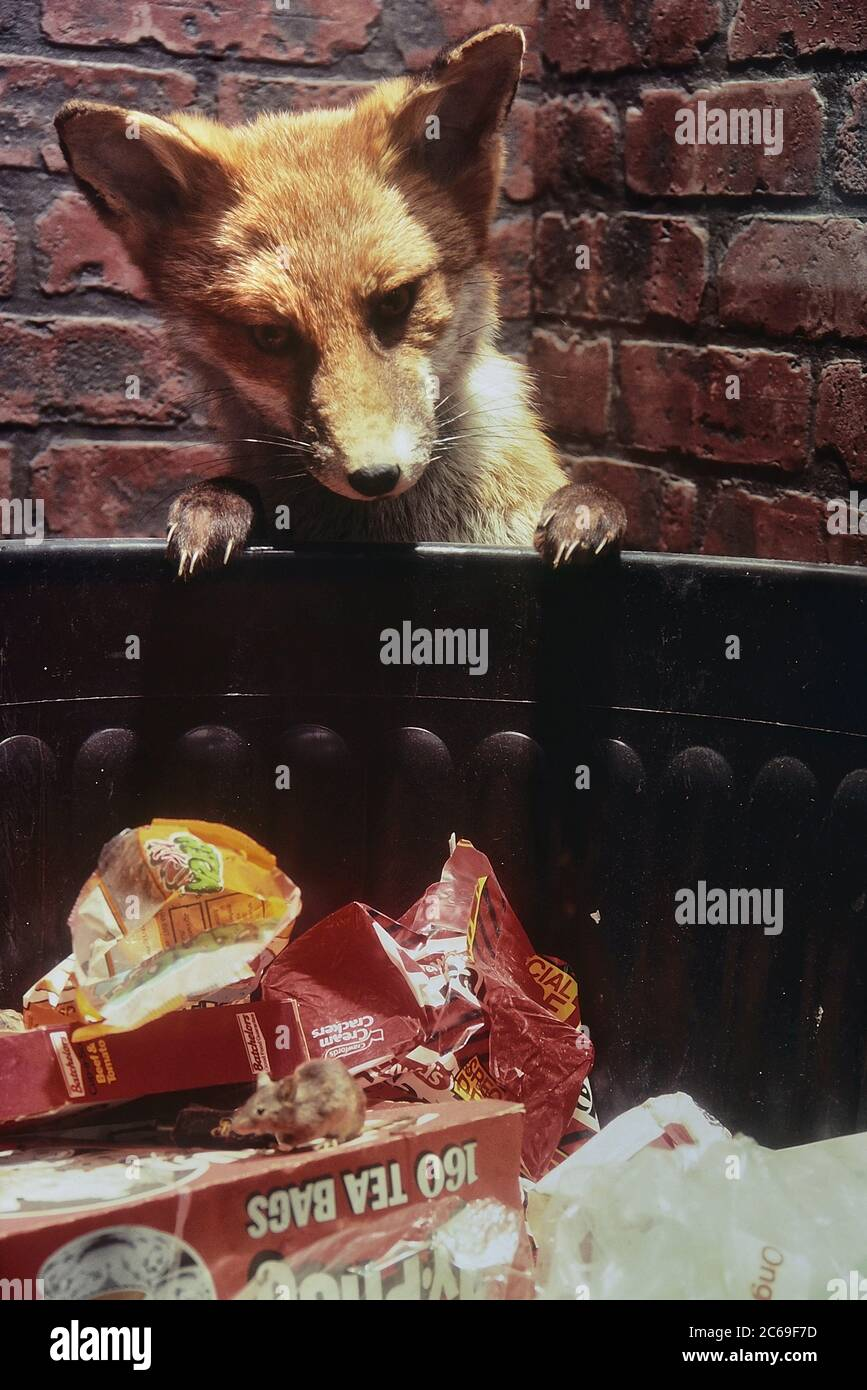 Taxidermy display of an urban fox and mouse scavenging a dustbin. Cumberland House Natural History Museum, Southsea, Portsmouth, Hampshire, England, UK. Circa 1980's Stock Photo