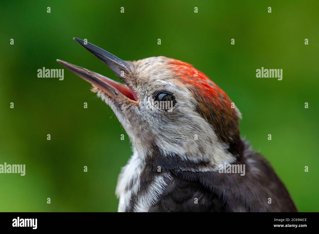 middle spotted woodpecker (Picoides medius, Dendrocopos medius, Leiopicus medius, Dendrocoptes medius), juvenile, portrait, Netherlands Stock Photo