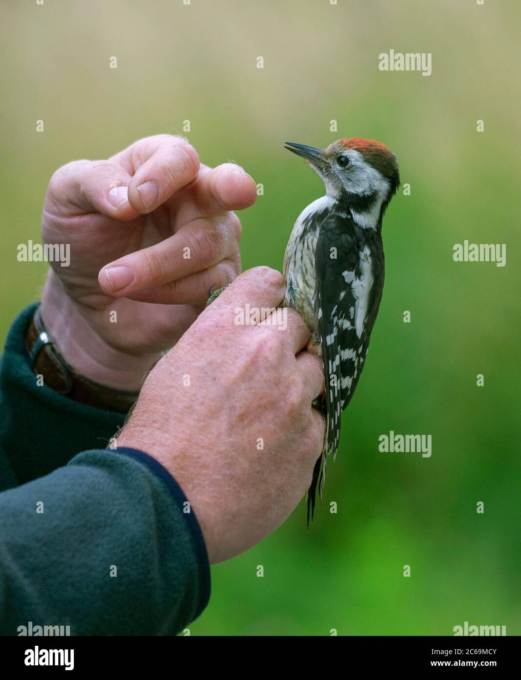 middle spotted woodpecker (Picoides medius, Dendrocopos medius, Leiopicus medius, Dendrocoptes medius), juvenile in the hand for ringing, Netherlands Stock Photo