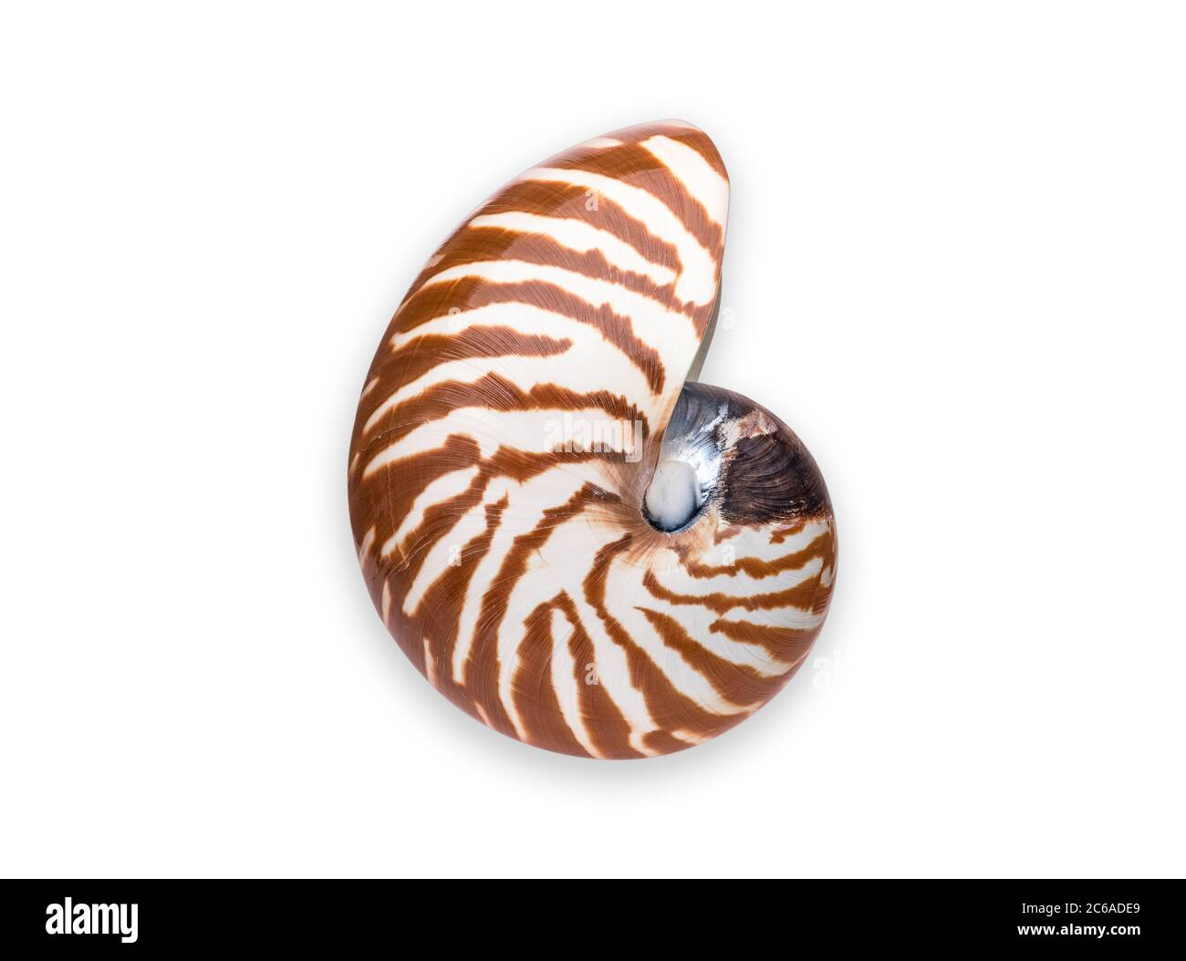 NAUTILUS SHELL or NAUTILUS CHAMBERED or PEARLY NAUTILUS SHELL High Definition Shot Nautilus Pearly Nautilus Shell Clipping Work Path Included in JPEG Stock Photo