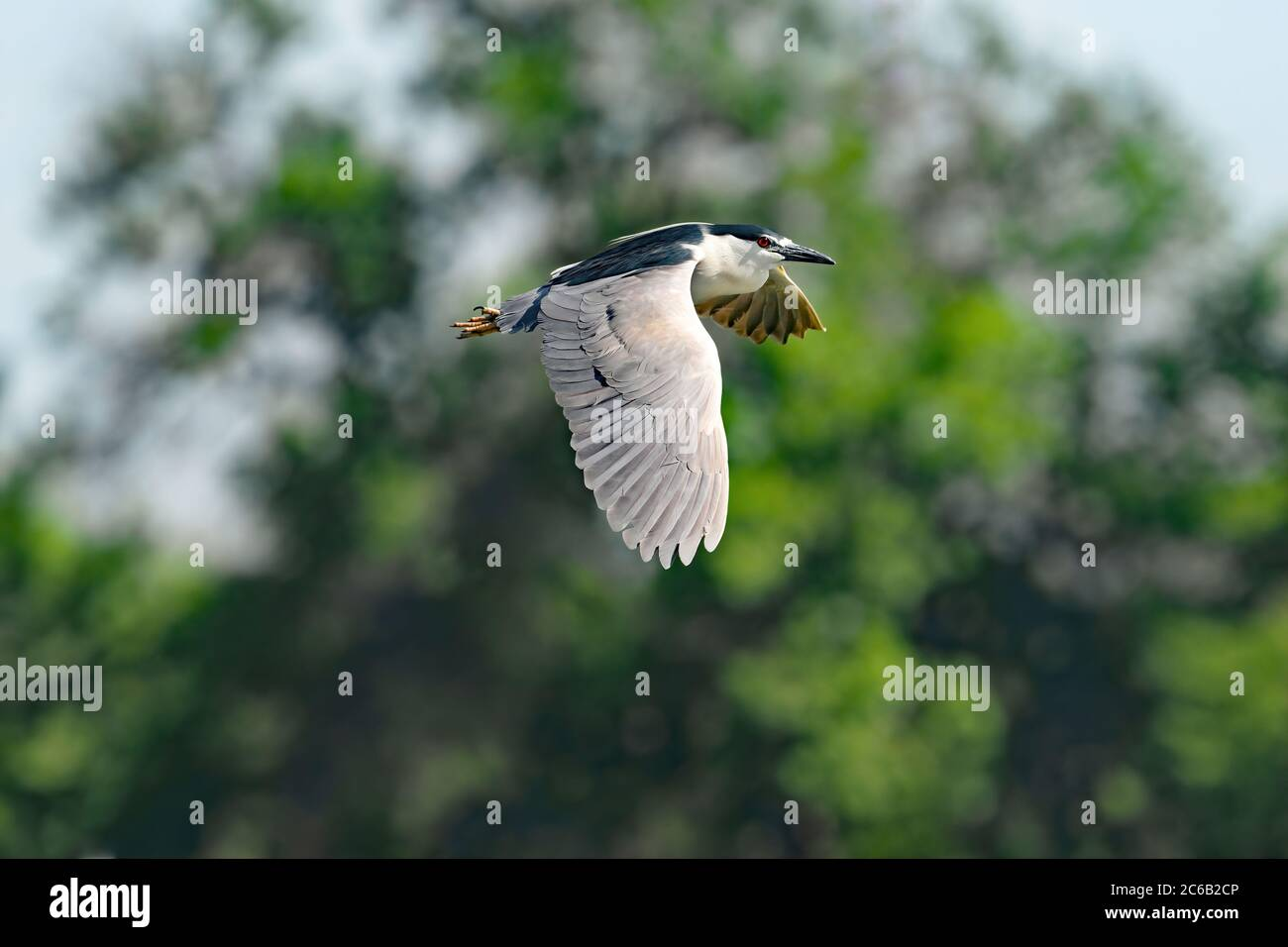 Black-crowned Night Heron with large wings and a bright red eye flies by tall mature green trees in Denver City Park, Colorado. Stock Photo
