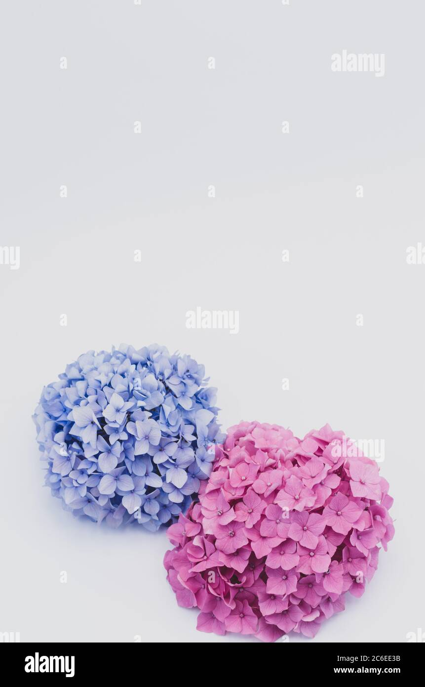 hydrangeas inflorescences in bloom still life on white background Stock Photo