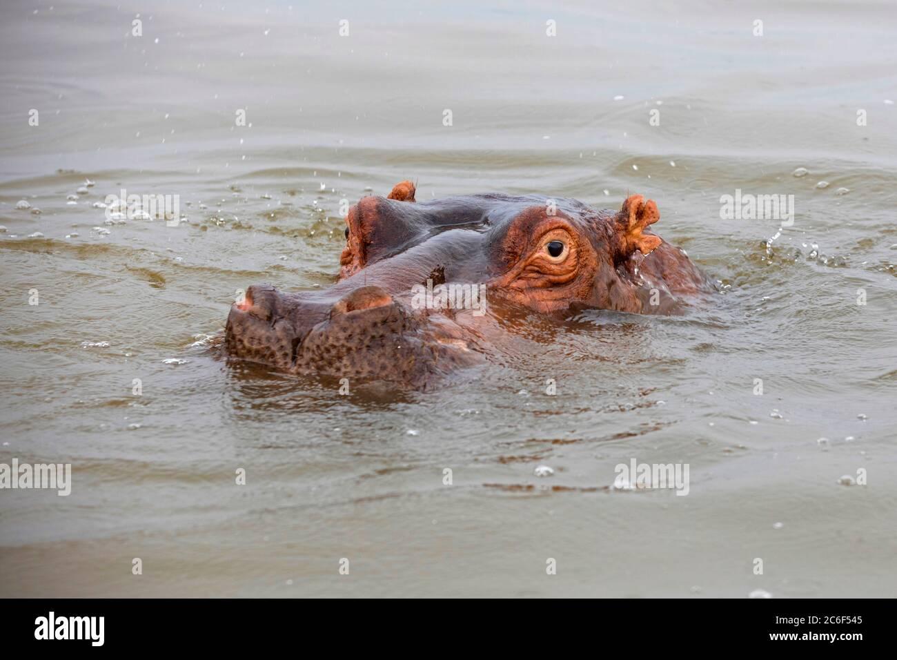 Close-up of surfacing hippopotamus / hippo (Hippopotamus amphibius) in Lake Hawassa  / Lake Awasa, Great Rift Valley, Southern Ethiopia, Africa Stock Photo