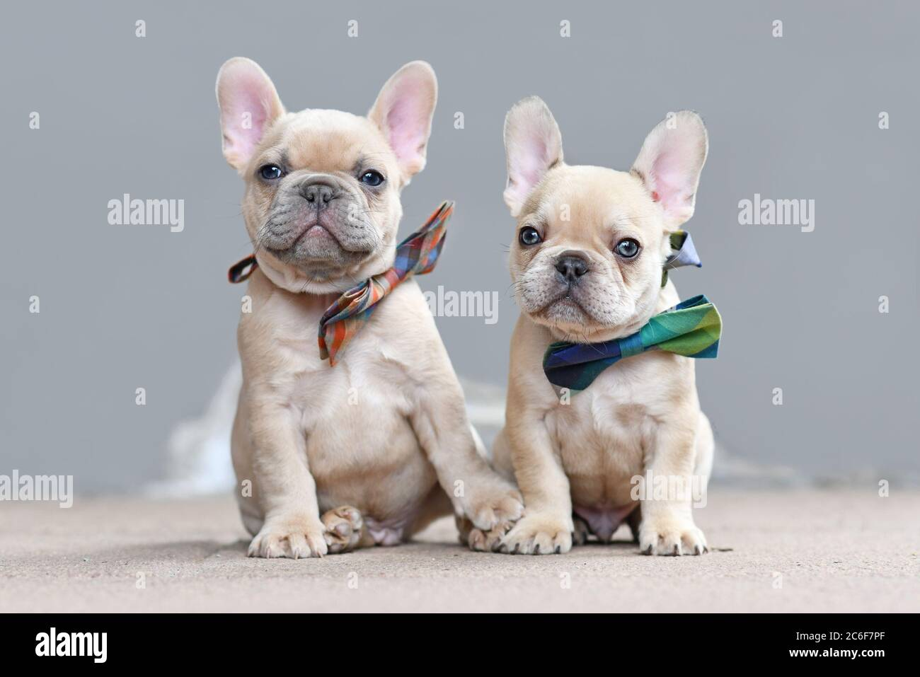 Two Cute Lilac Fawn Colored French Bulldog Dog Puppies Wearing Bow Ties While Appearing To Hold Hands Sitting Together In Front Of Gray Wall Stock Photo Alamy