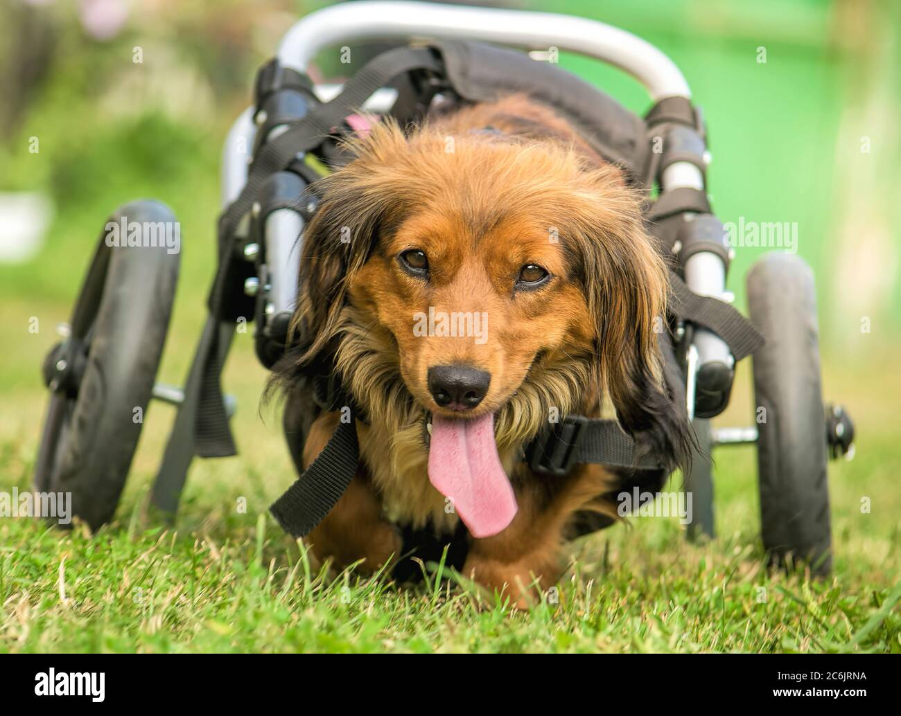 Cute long-haired dachshund in a doggy wheelchair Stock Photo - Alamy