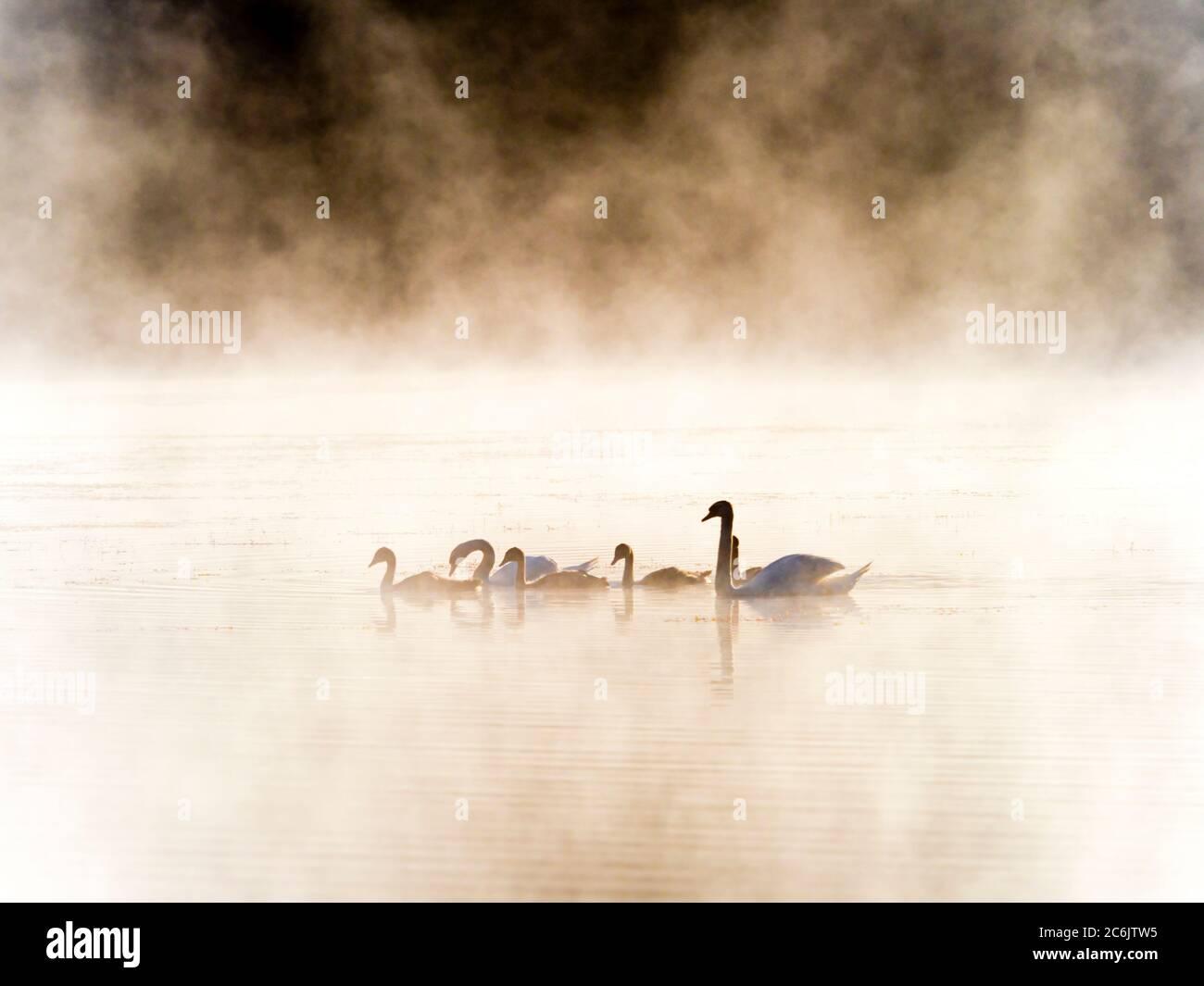 Swans family in sunrise time on lake Mrzla vodica in Croatia Europe Stock Photo