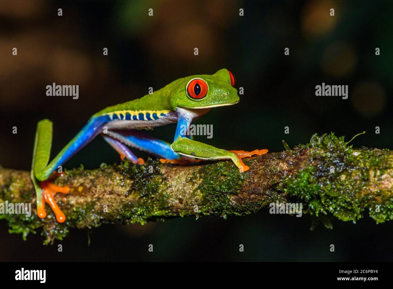 Red-Eyed Tree Frog (Agalychnis callidryas), Frogs Heaven, Limon, Costa Rica Stock Photo