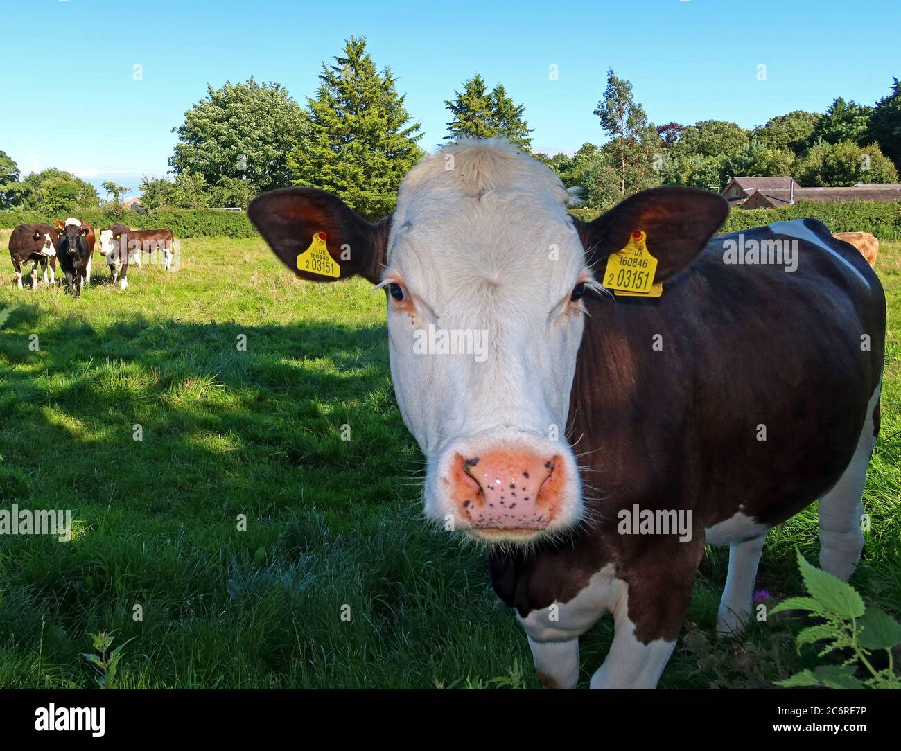 British beef cattle, country agriculture, Cheshire countryside,England,UK - quality husbandry Stock Photo