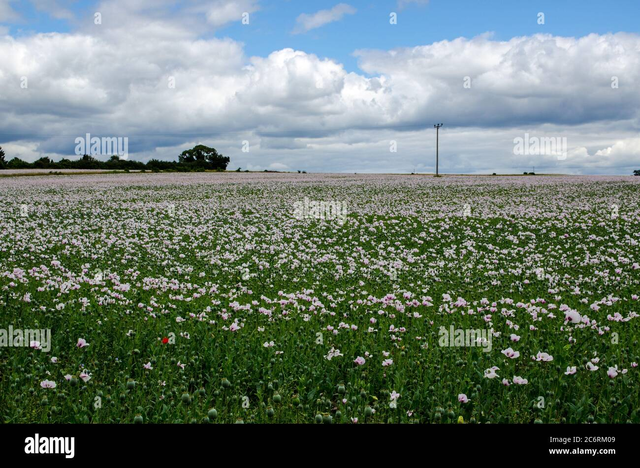 A field full of opium poppies, latin name Papaver somniferum, growing as a crop in Hampshire, UK.  The seed heads will be used to produce medicinal mo Stock Photo