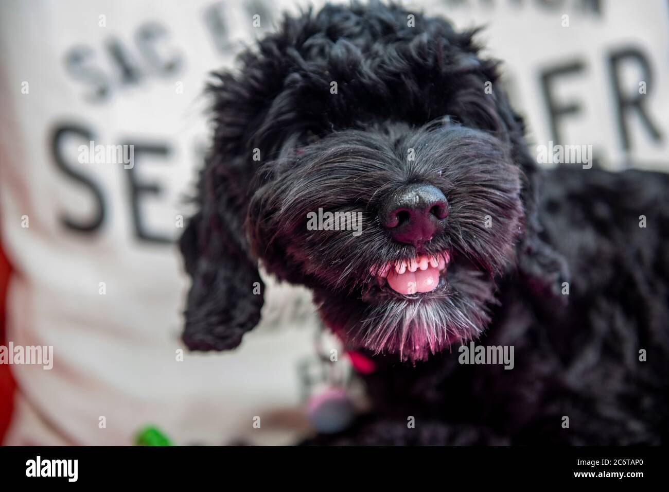 A Young Cockapoo Puppy Shows Substantial Aggression When Protecting A Toy Stock Photo Alamy