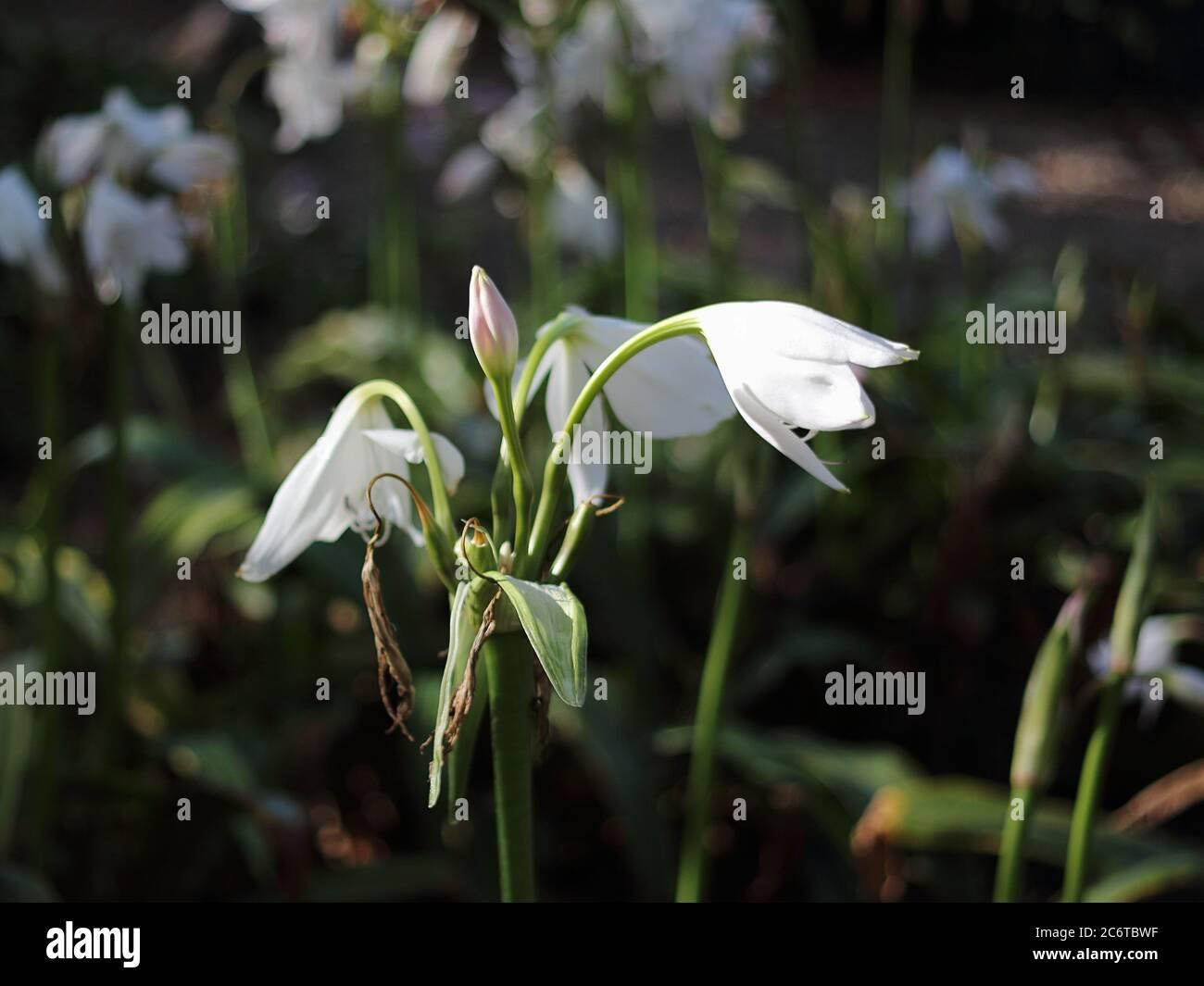 Crinum Lily. Parque de La Paloma, Benalmádena, Málaga, Spain. Stock Photo