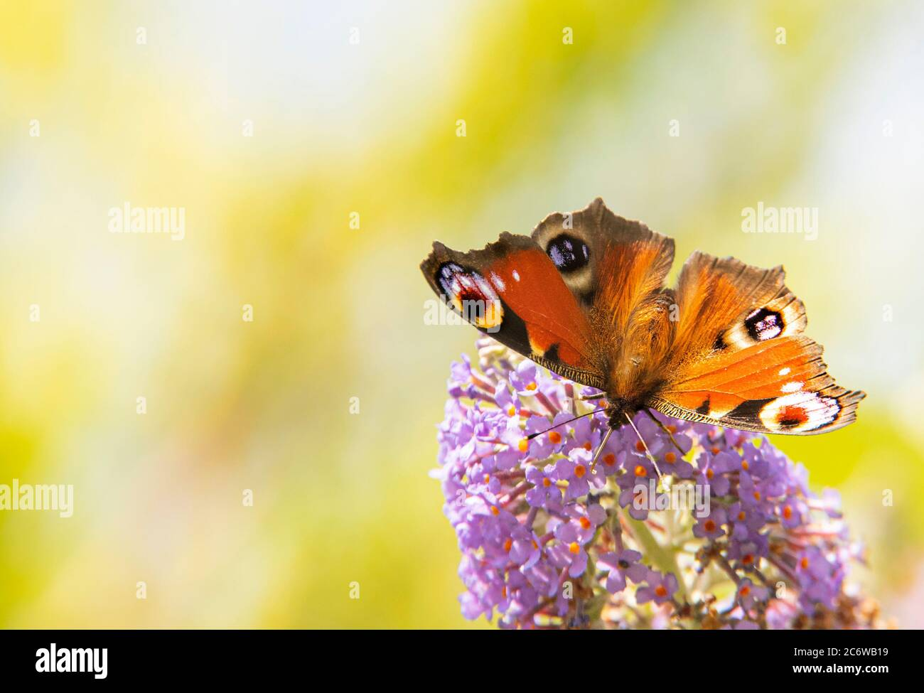 Peacock Butterfly, perched on a shrub in a British Garden, Bedfordshire, July 220 Stock Photo