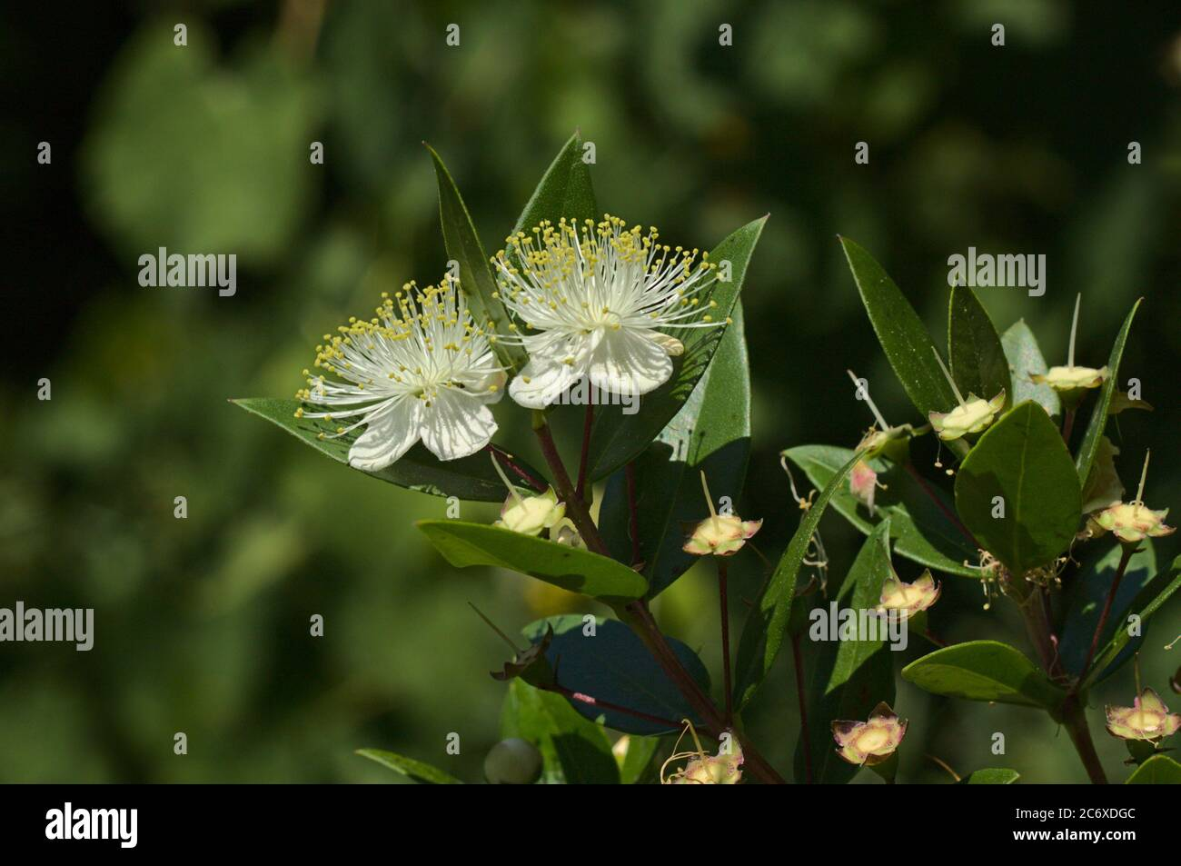 Myrtus Tree High Resolution Stock Photography And Images Alamy