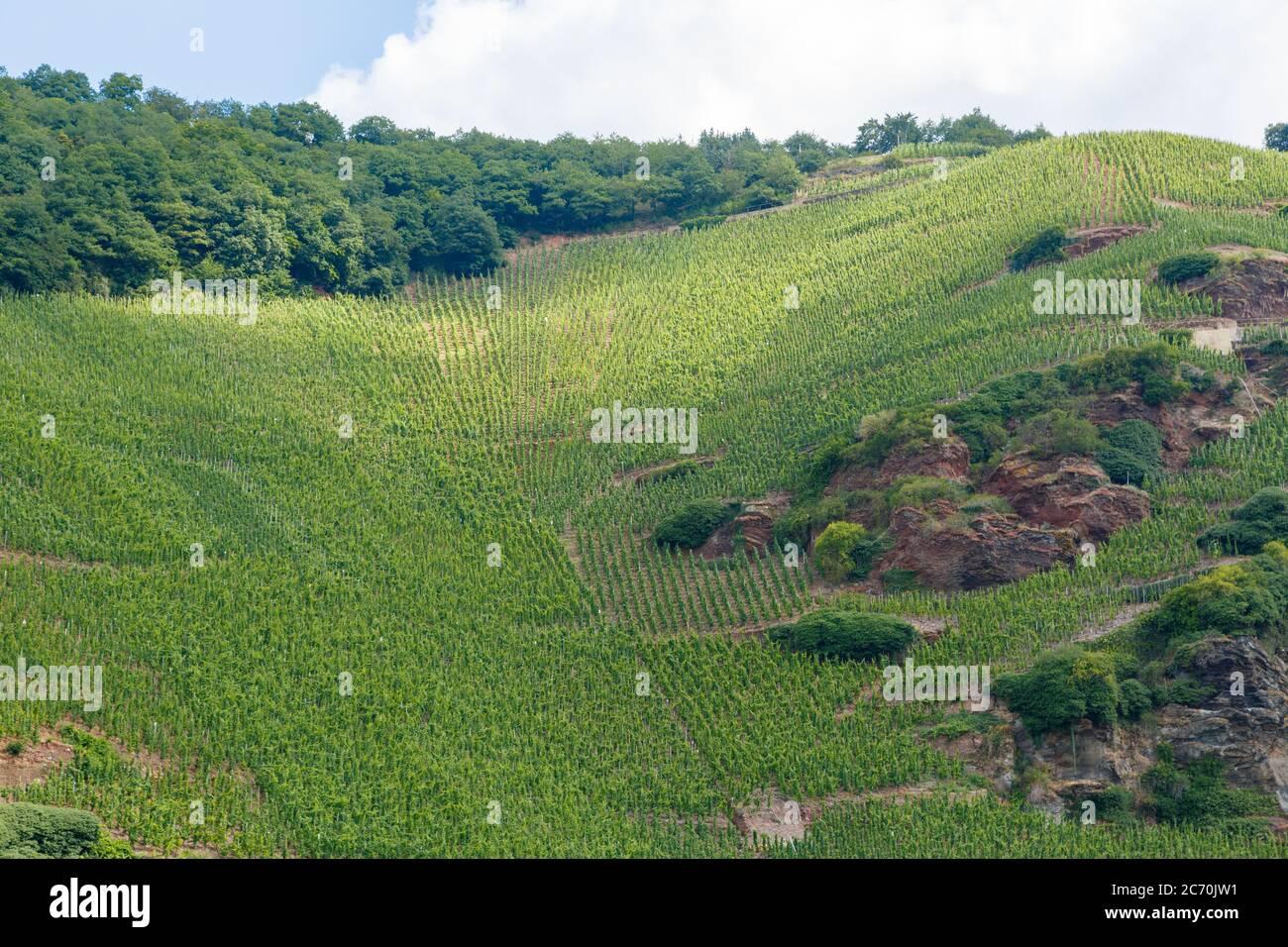 Weinanbau an der Mosel, Rheinland-Pfalz, Deutschland Stock Photo