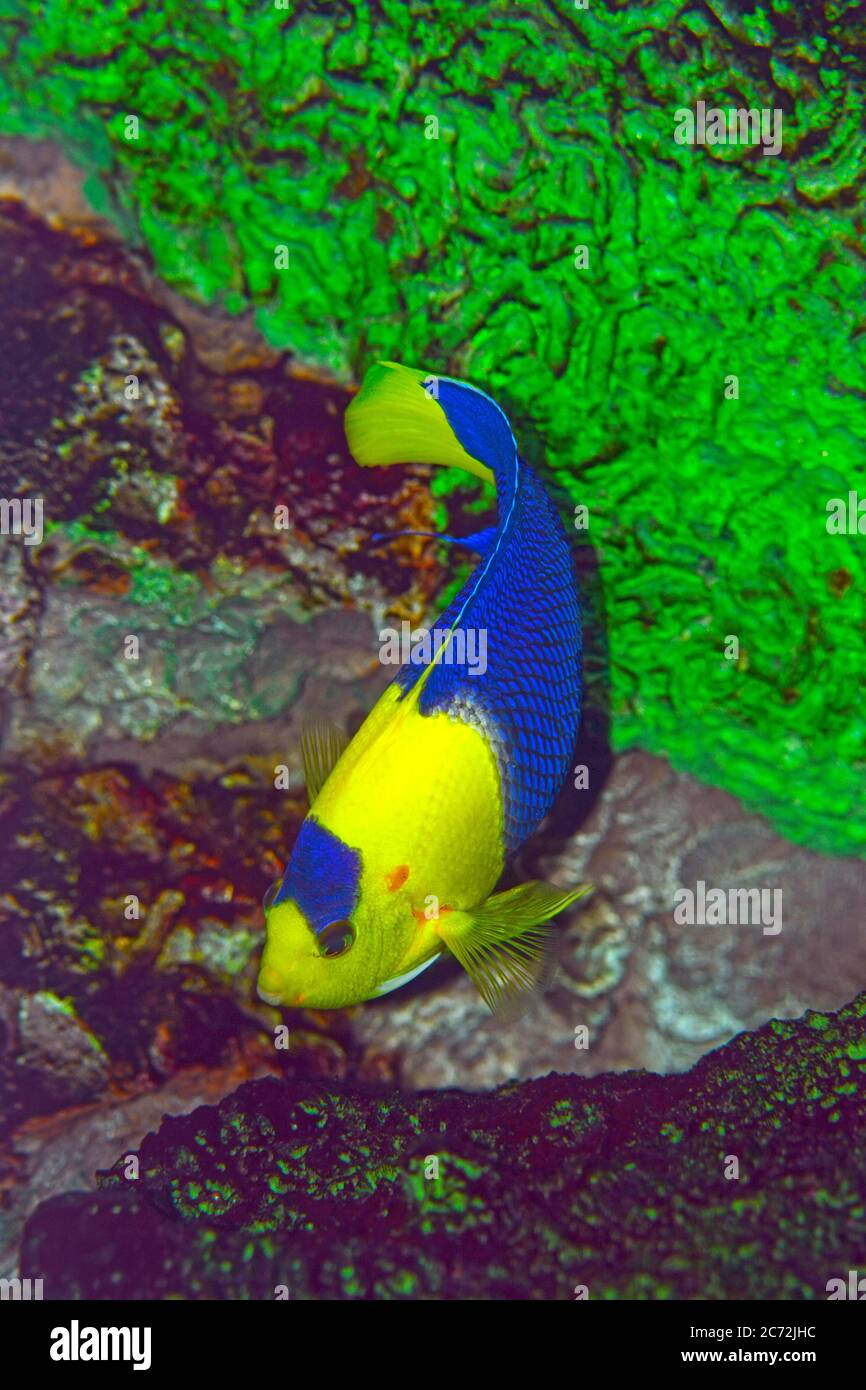 Bicolor Angelfish - close up on Coral reef fish Stock Photo