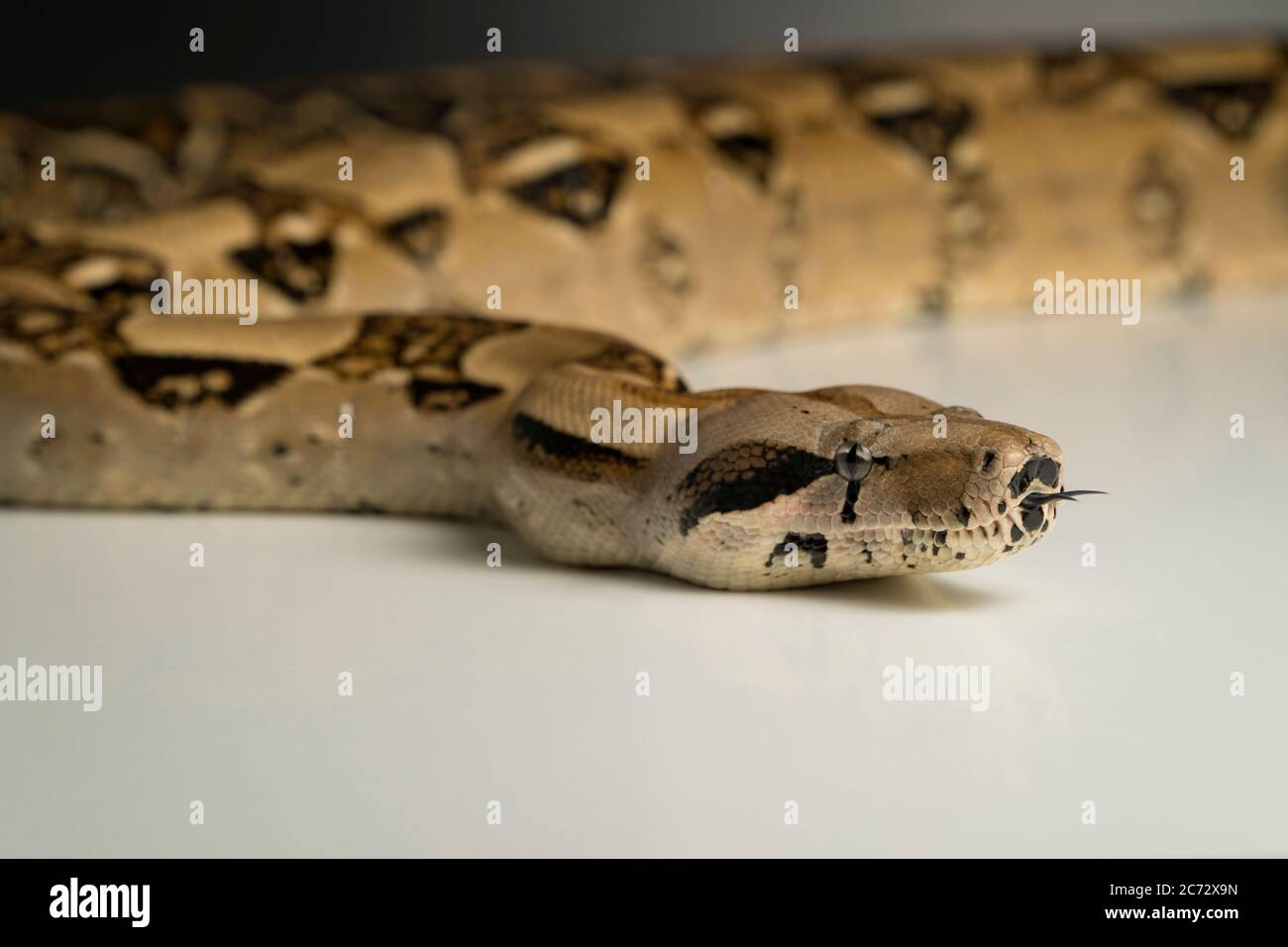 Snake On White Background High Resolution Stock Photography And Images Alamy