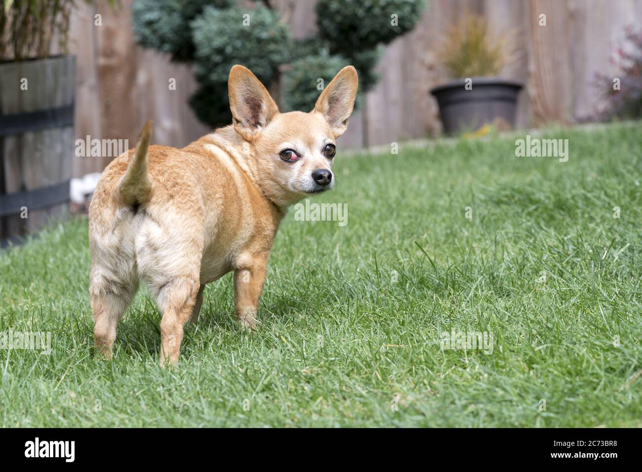 Chiweenie Dog Breed Standing in Yard - female with cherry eye medical condition Stock Photo