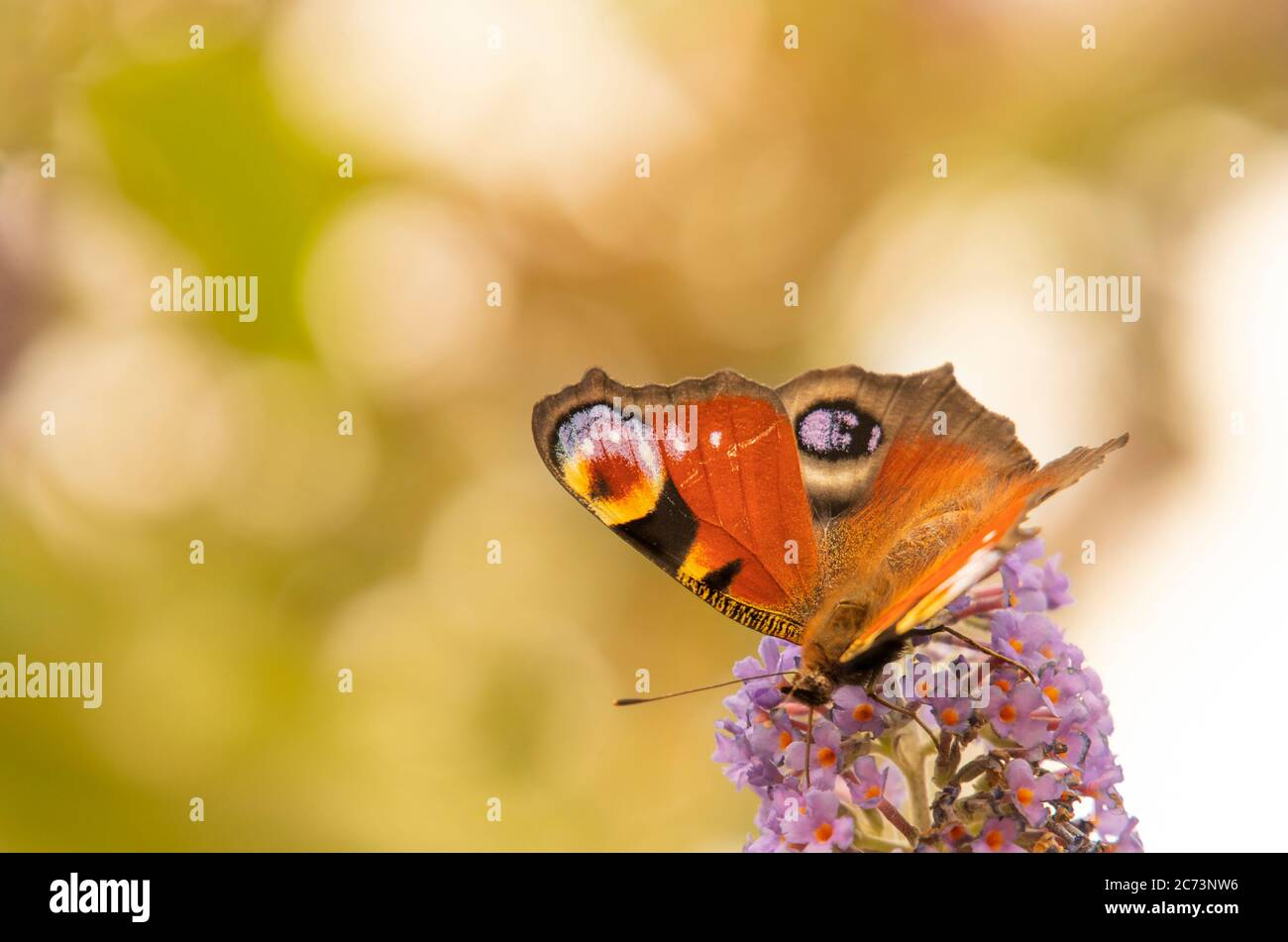 Peacock Butterfly, Aglais io, perched on a purple flower, British Countryside, Bedfordshire, UK Stock Photo