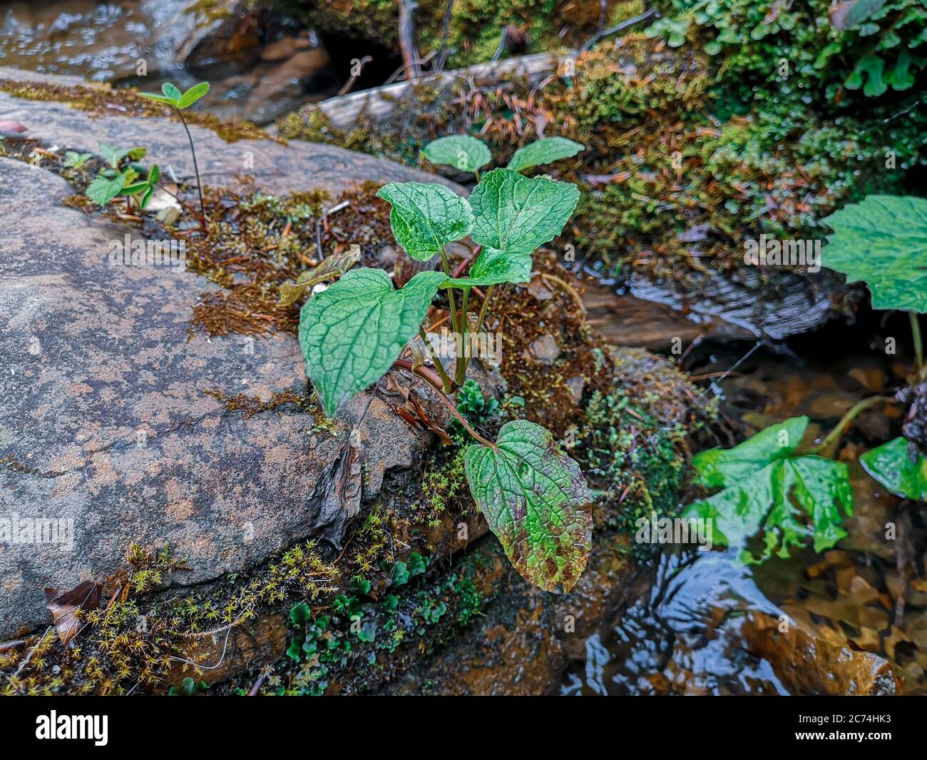 Closeup of a little green bush growing on a big wet mossy rock lying on the bottom of a mountain stream in Carpathian mountains. Stock Photo