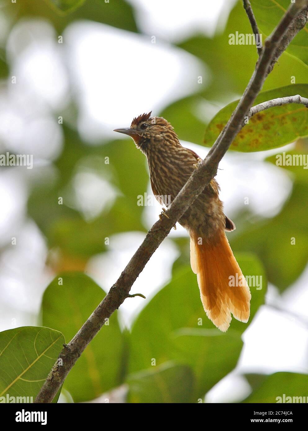 striated softtail (Thripophaga macroura), perched in understory of atlantic rainforest, Brazil Stock Photo