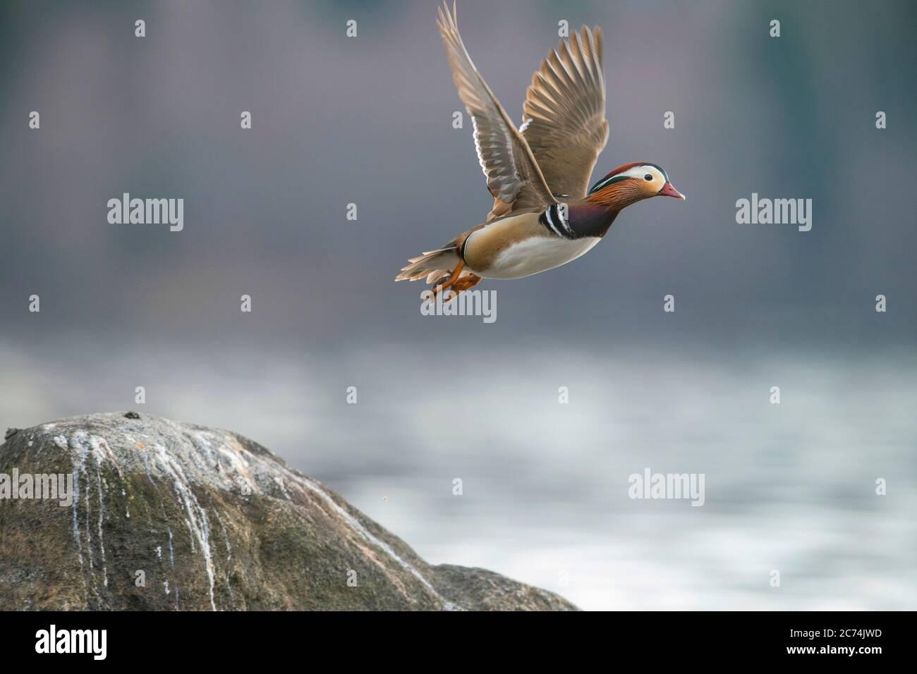 mandarin duck (Aix galericulata), male in flight, Finland Stock Photo
