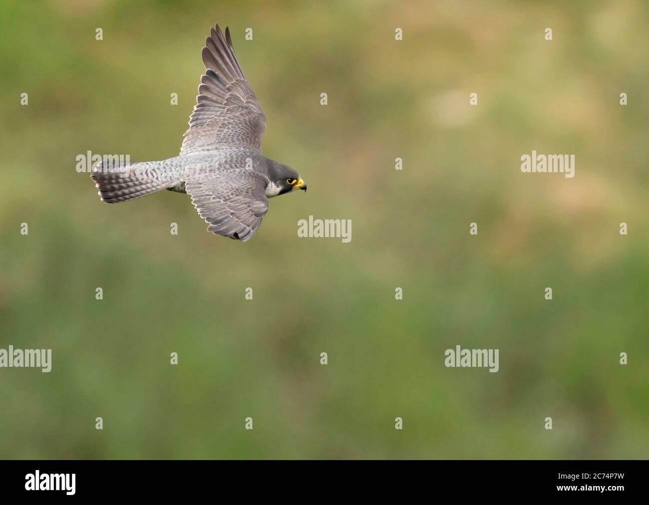 An adult Peregrine Falcon (Falco peregrinus) in flight over the Avon Gorge, Bristol Stock Photo