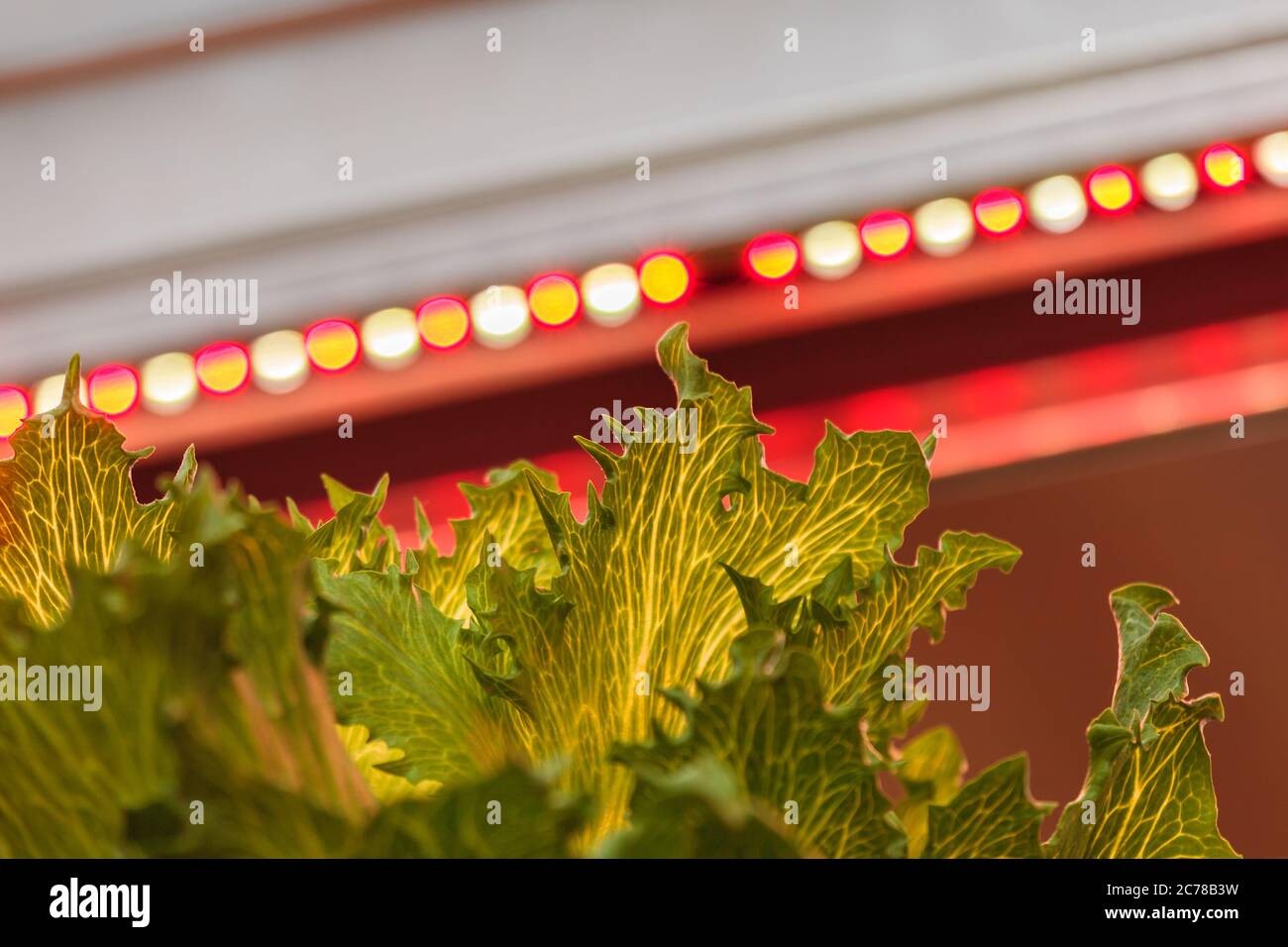 LED lighting used to grow lettuce inside a warehouse without the need for sunlight Stock Photo