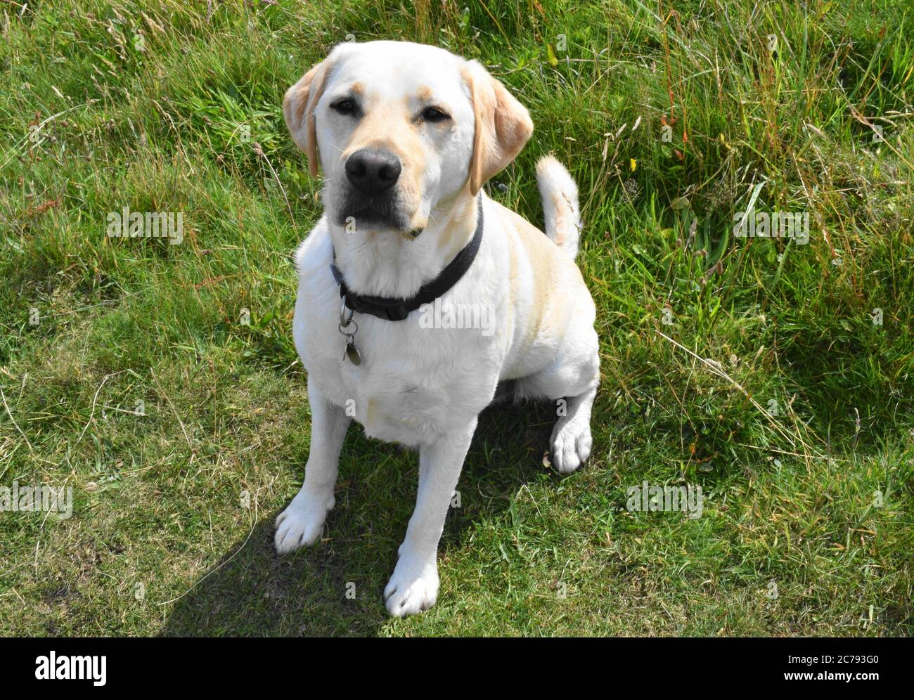 Golden Labrador Sitting Patiently On Grass Waiting For Instructions During Training Exercise Stock Photo Alamy