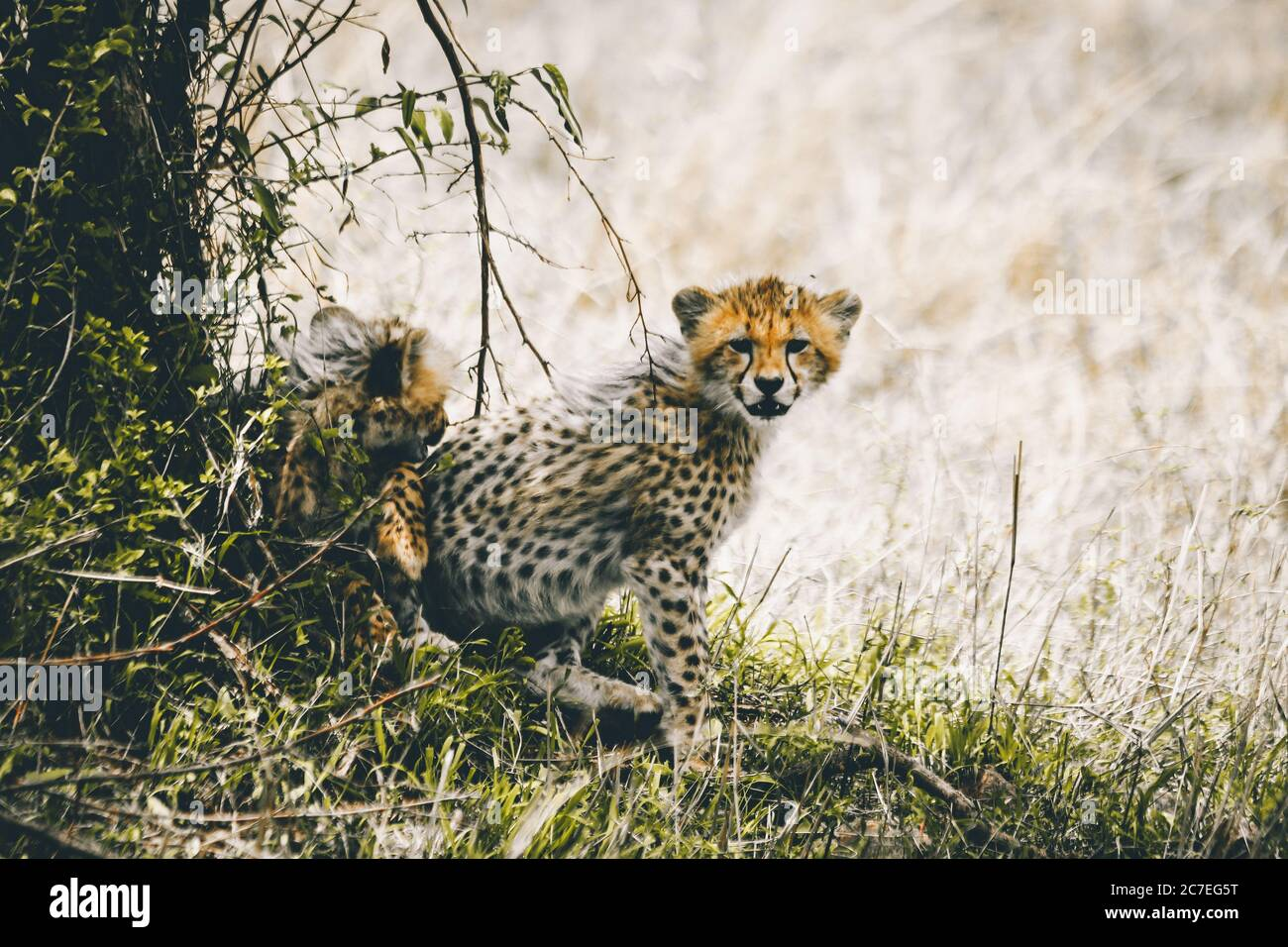Beautiful shot of cute baby cheetahs playing in a field near the bushes during daytime Stock Photo
